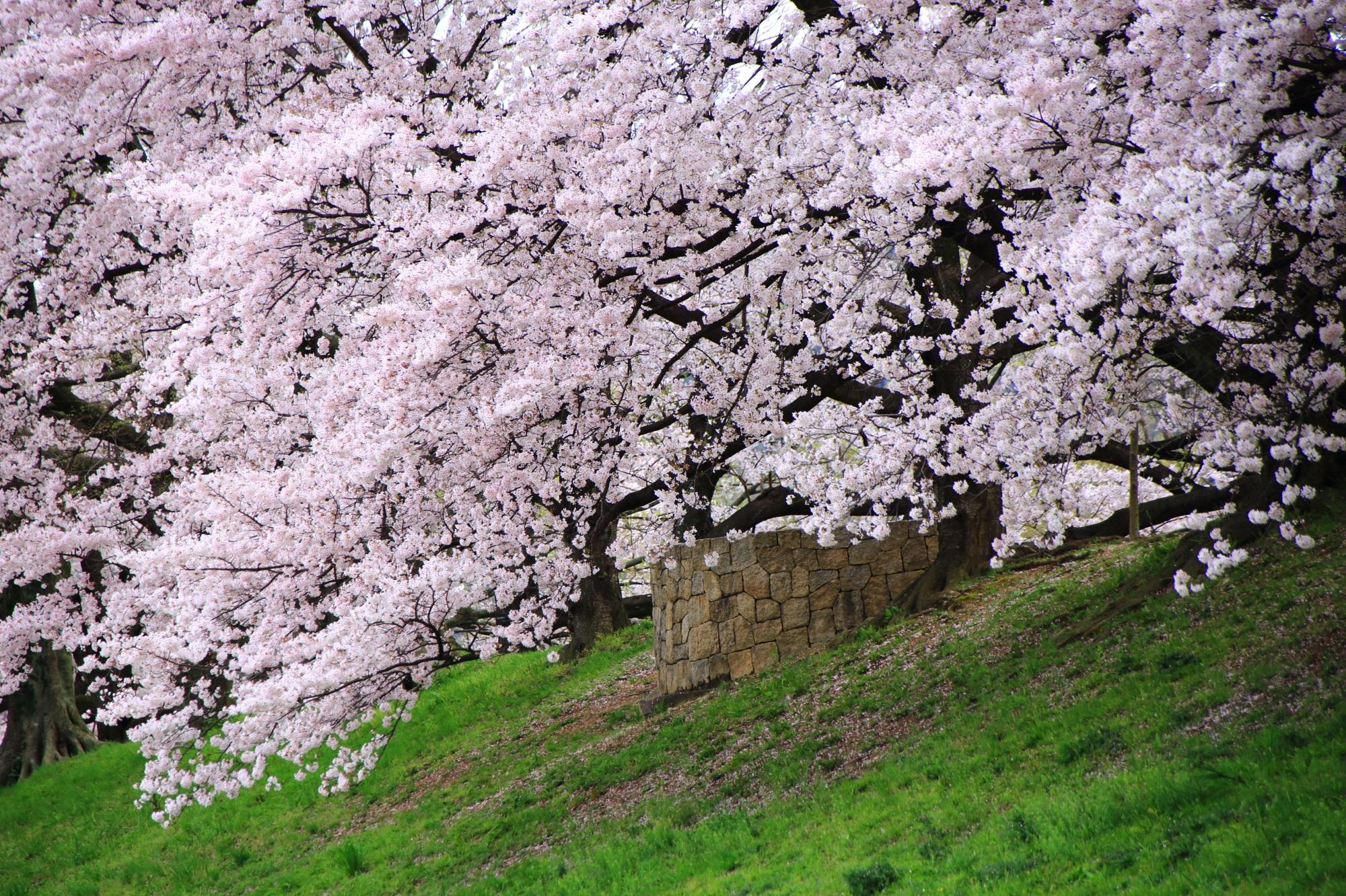 京都屈指の桜の名所の背割堤