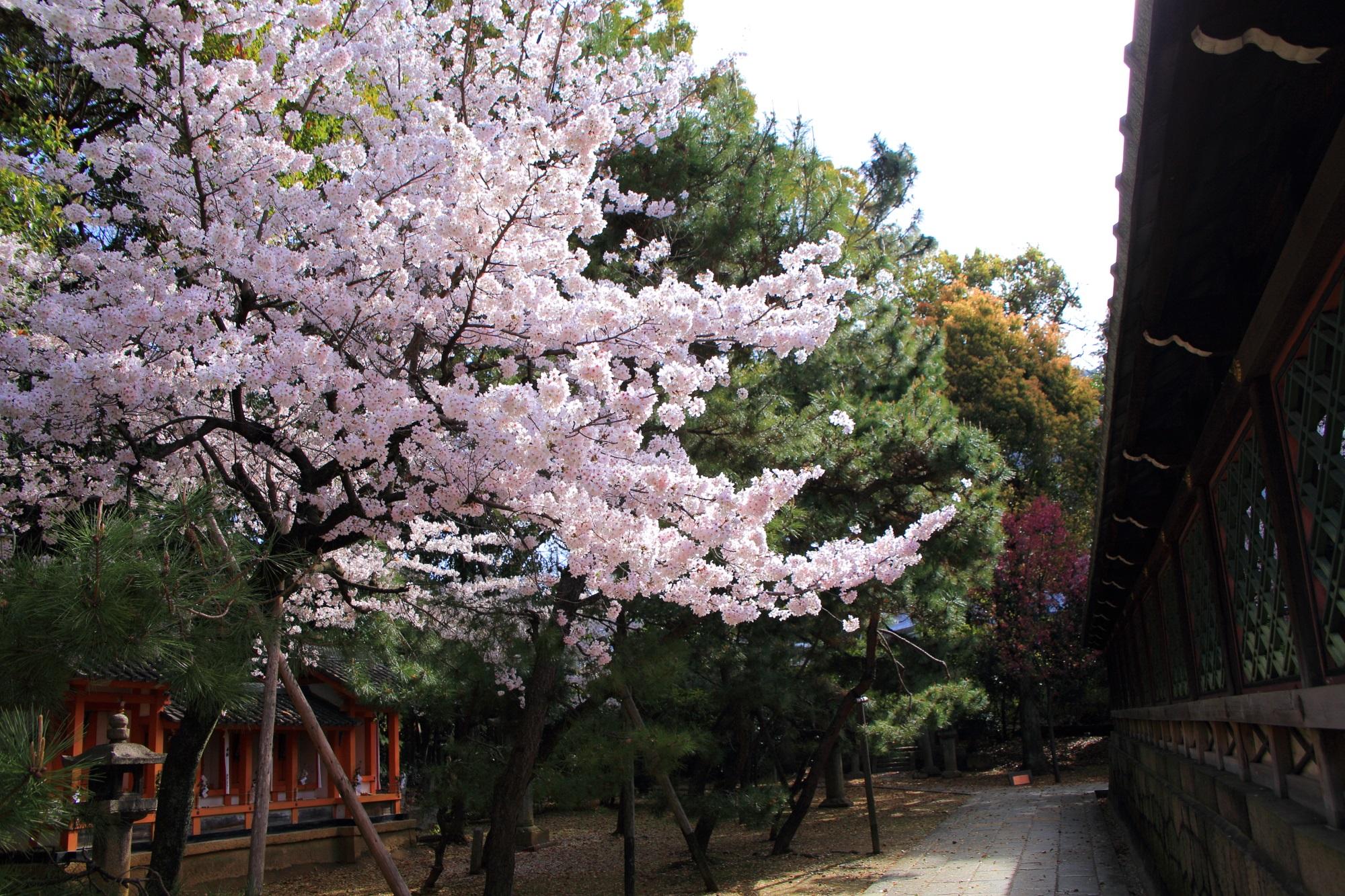 本殿を春色に染める満開の桜