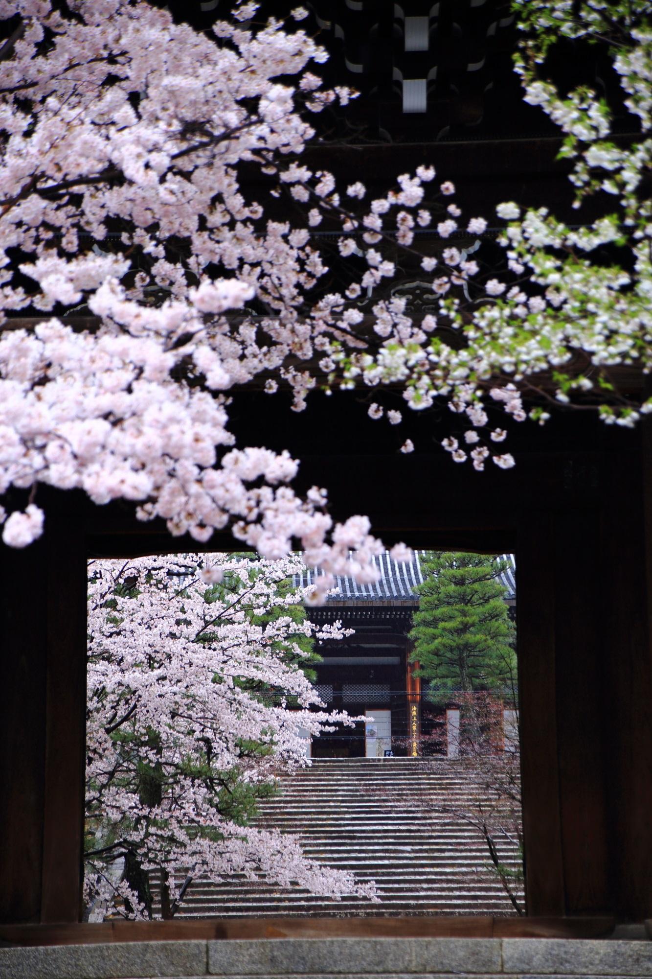 もっと有名で良い凄い金戒光明寺の桜
