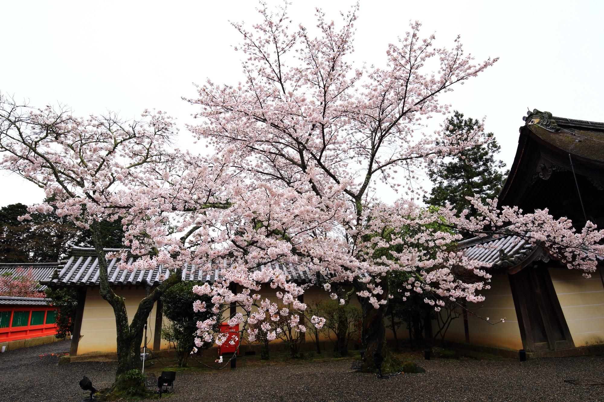 曇天は残念も豪快に咲き誇る毘沙門堂の桜