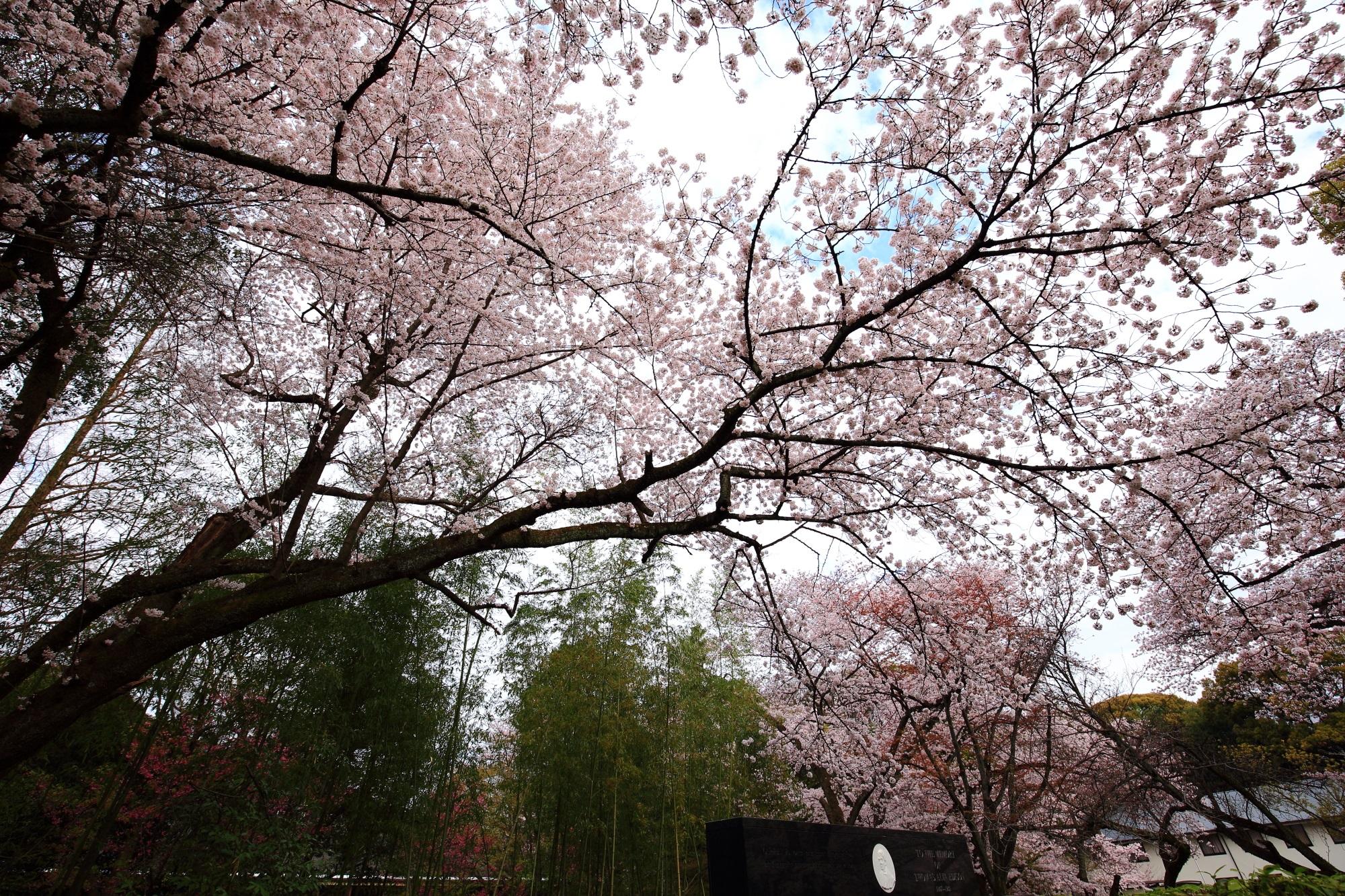 エジソン推しの石清水八幡宮のエジソン記念碑をつつむ立派な桜