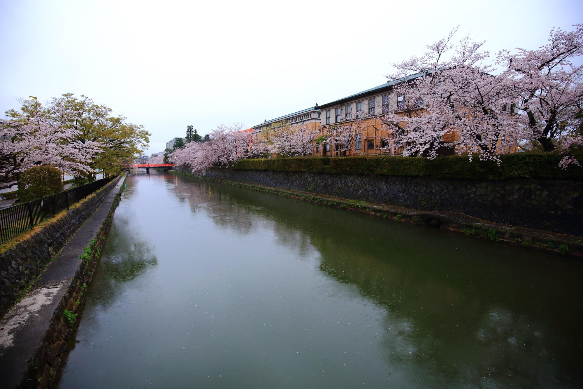 桜の名所の岡崎疏水の満開の桜