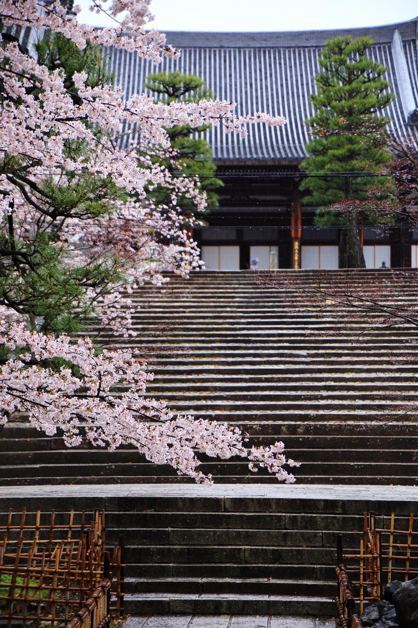 人がまばらな京都の桜の隠れた名所の金戒光明寺