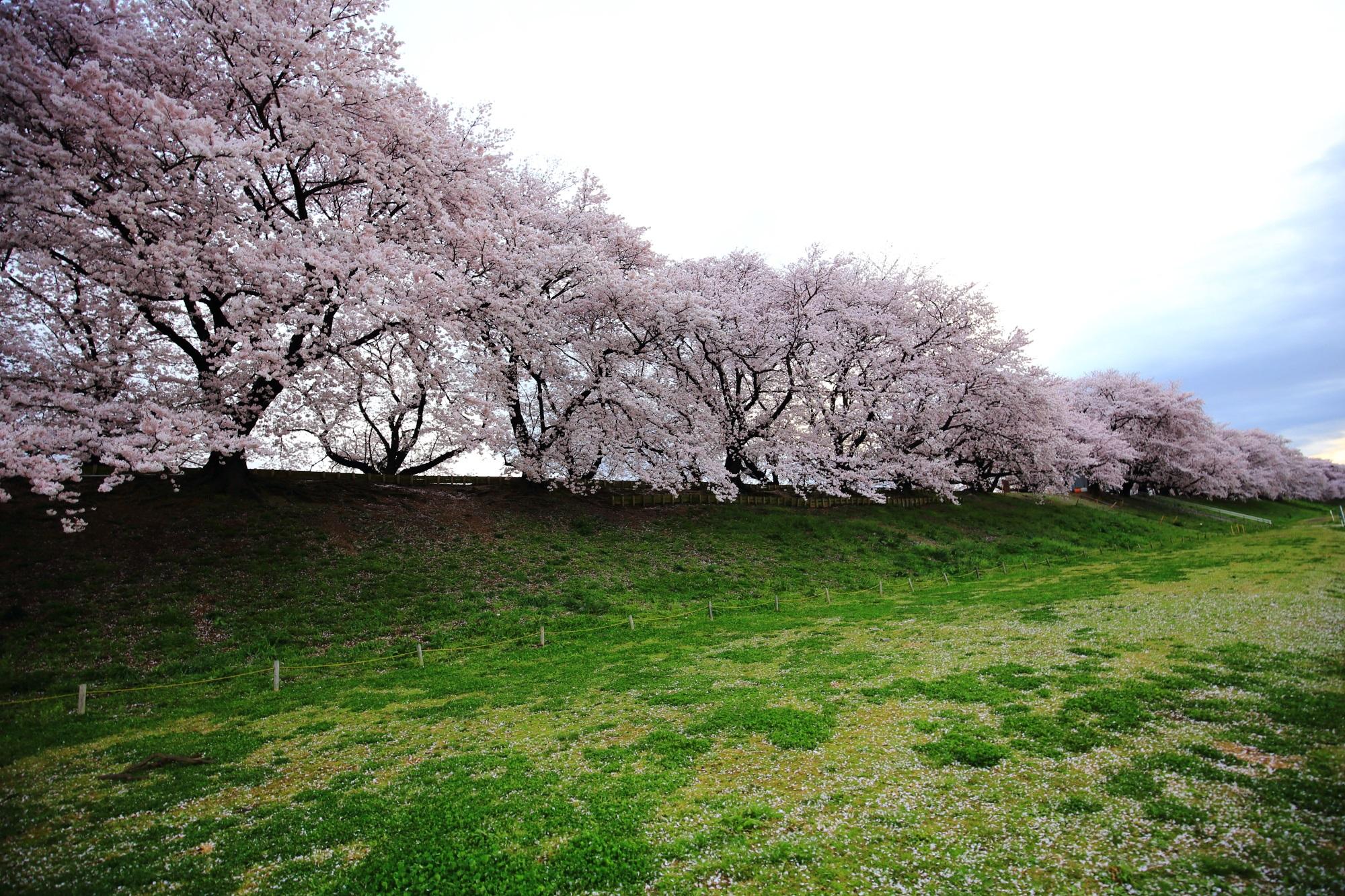 背割堤の続く豪快な桜並木