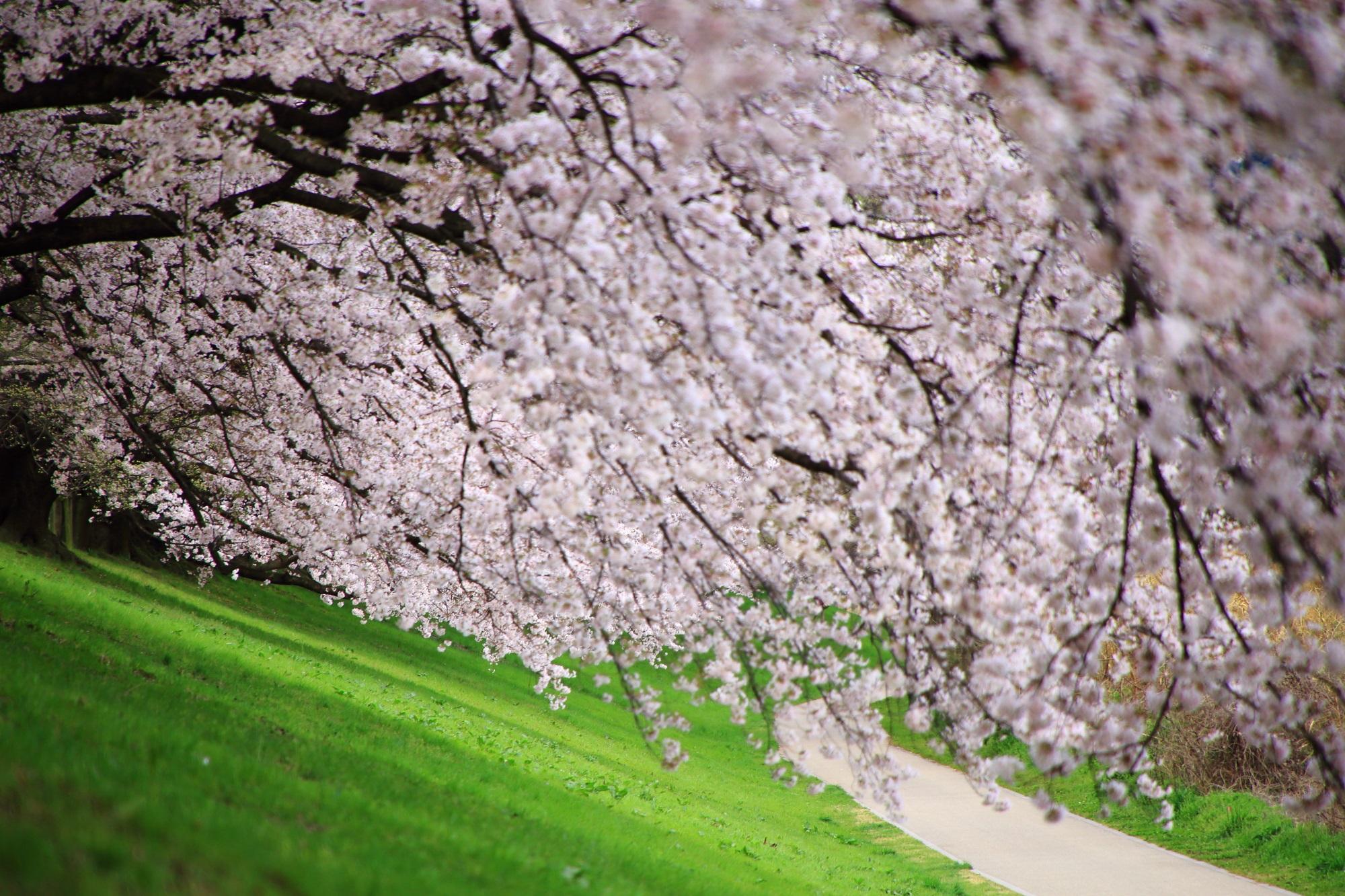 緑の芝生の上で優雅に咲き誇る華やかな桜