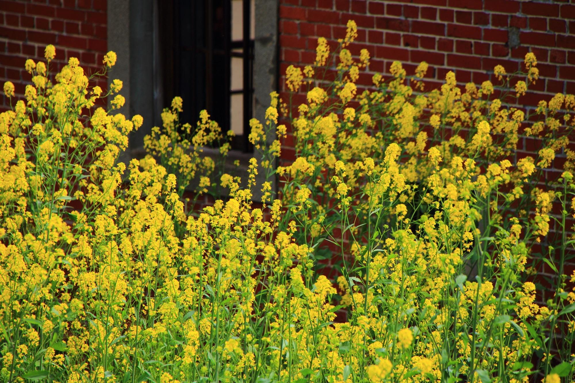 松本酒蔵のレンガ蔵と華やかな黄色い菜の花