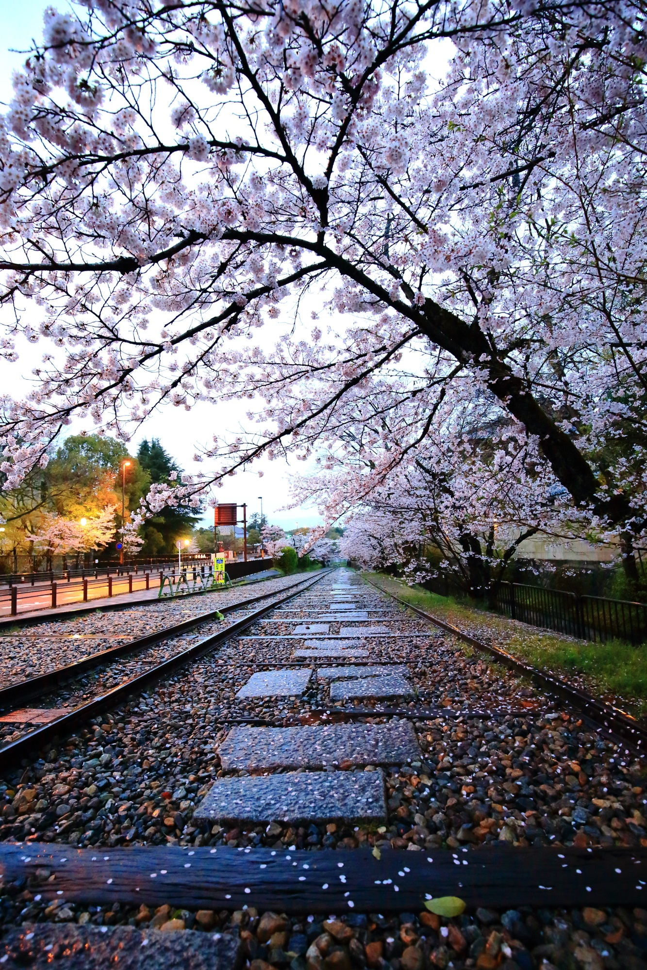 Kyoto Keage-Incline cherry blossoms
