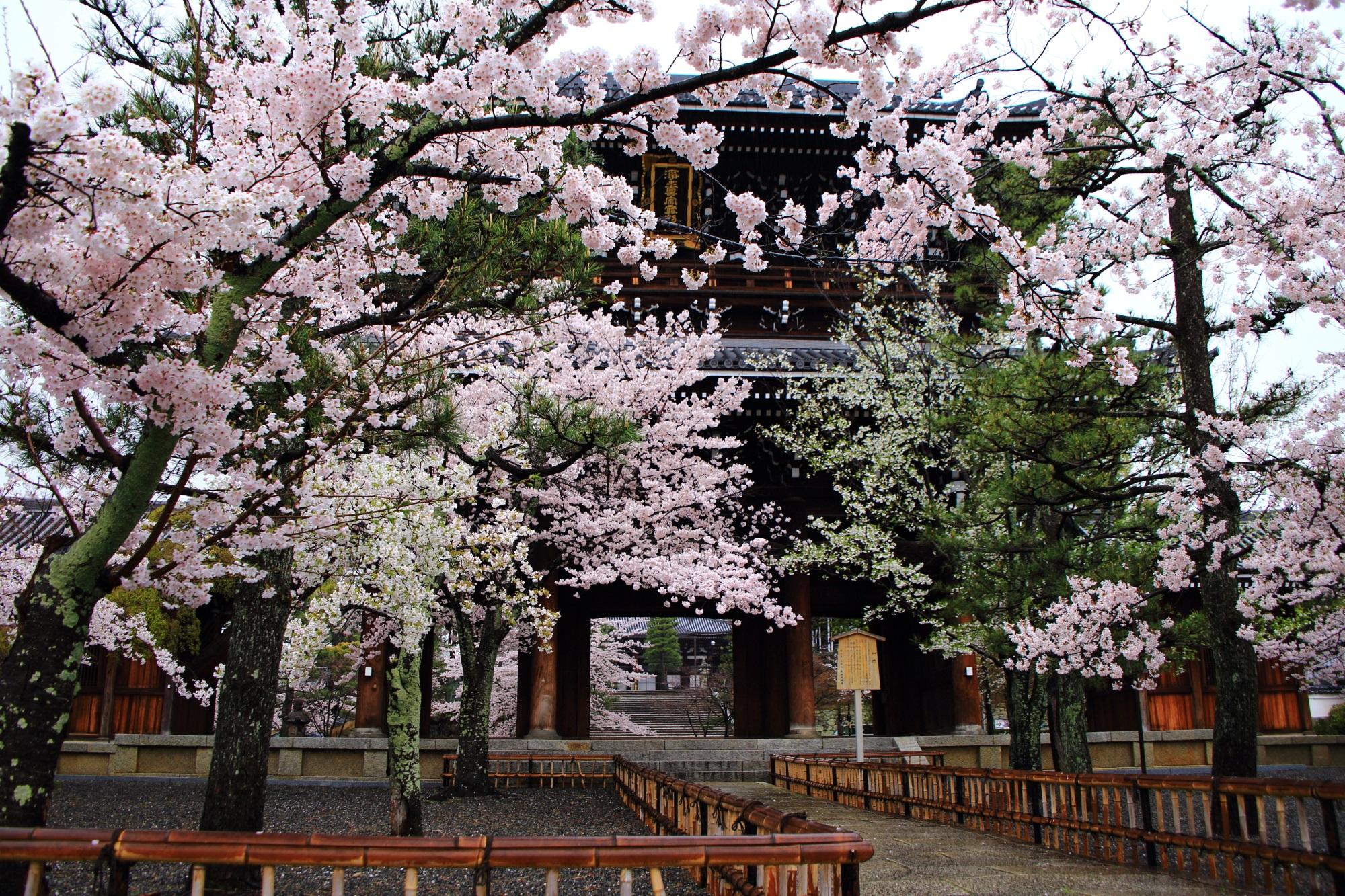 豪快に咲き乱れる桜と山門