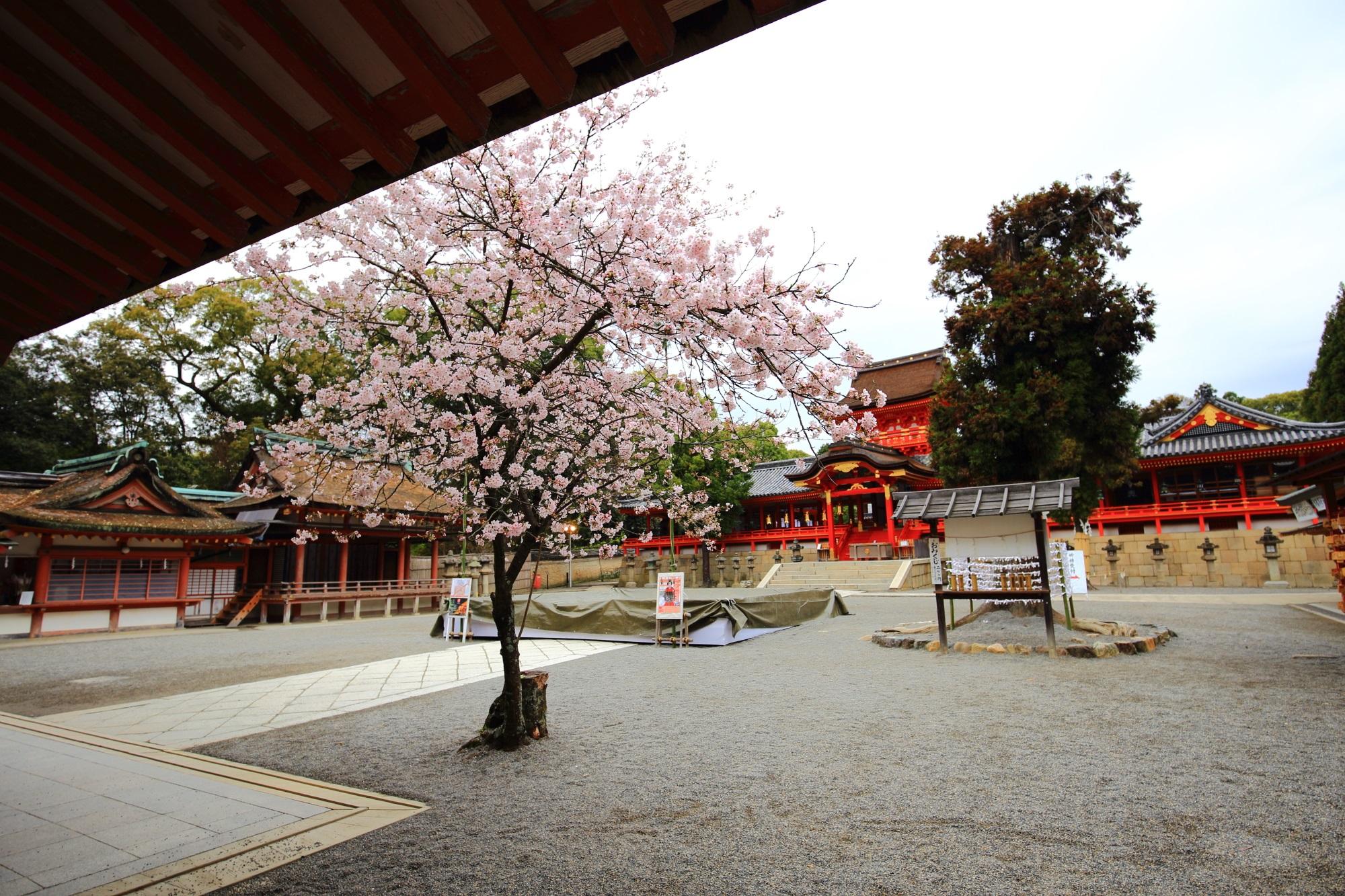 青空で見たかった綺麗な本殿と桜の風景