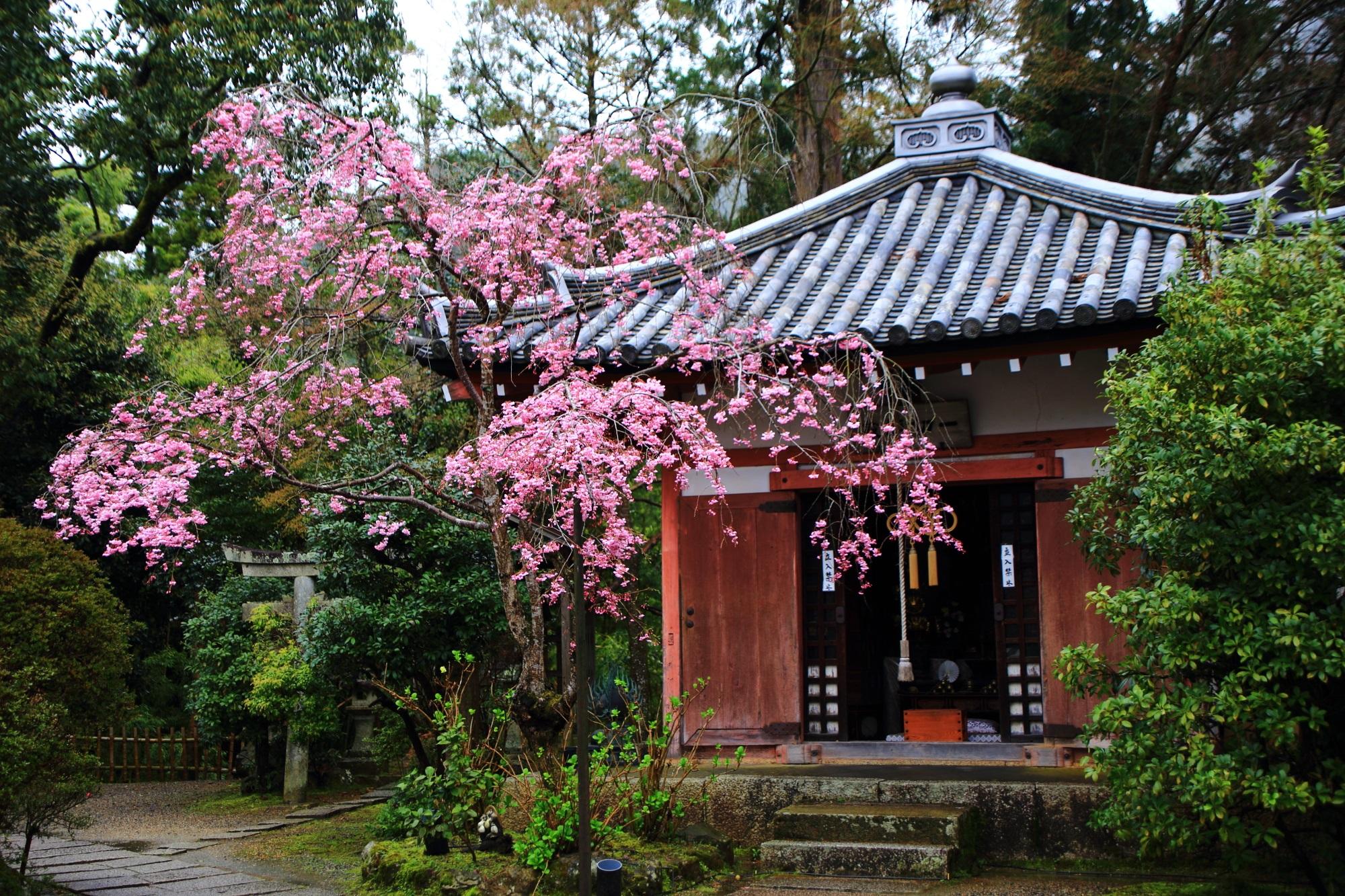 毘沙門堂のまだ木は小さい枝垂れ桜