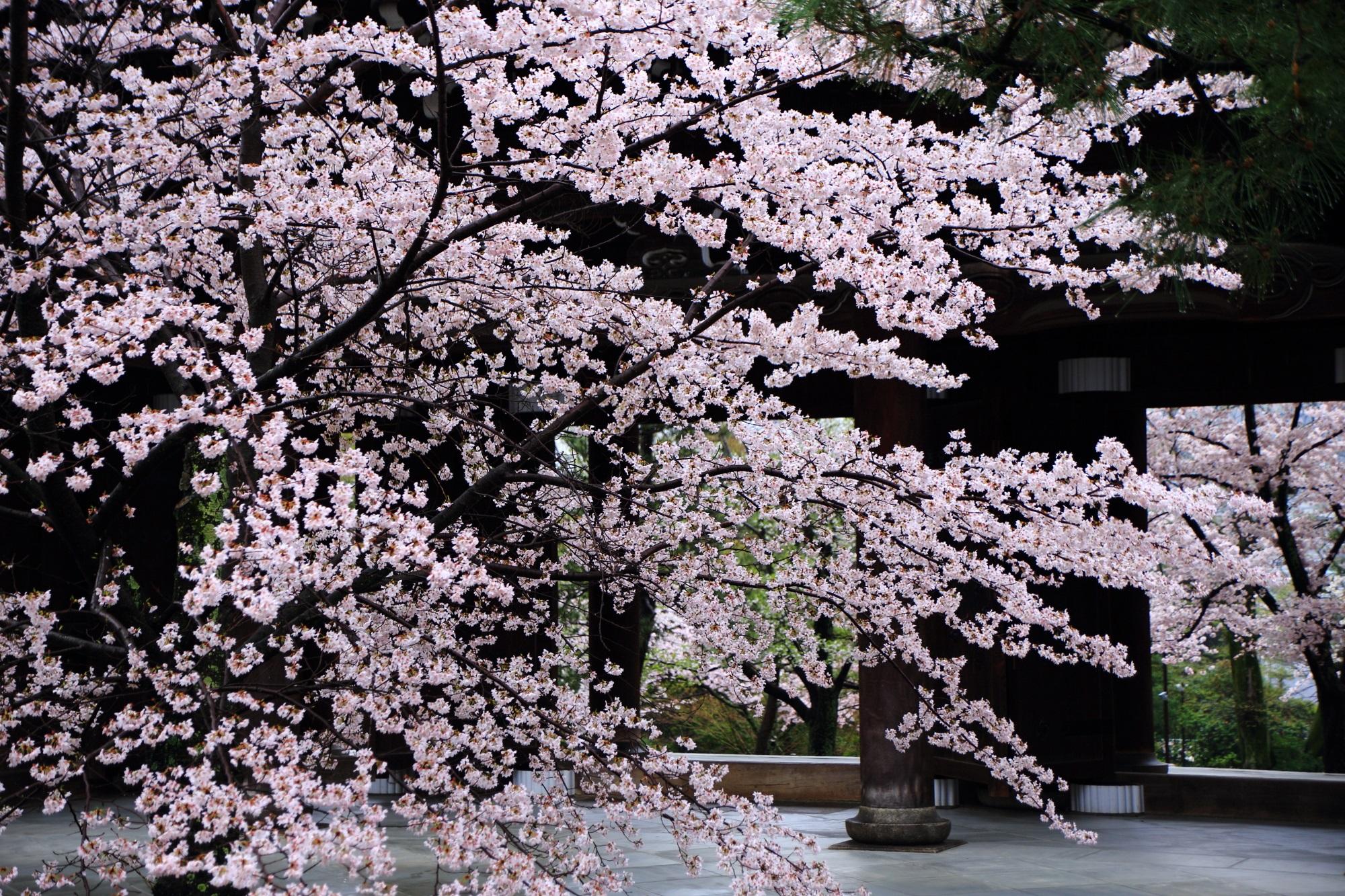 天晴れな山門周辺の桜