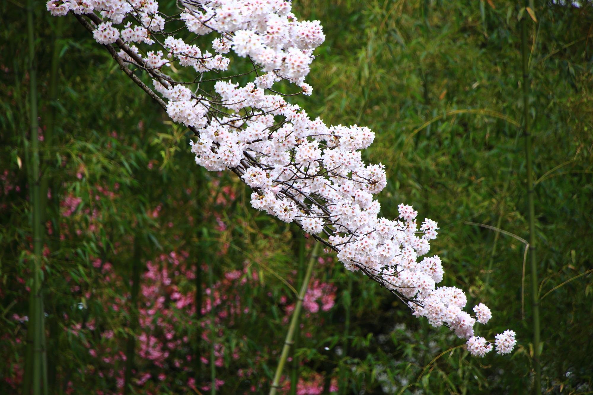 エジソン記念碑付近の桜と竹