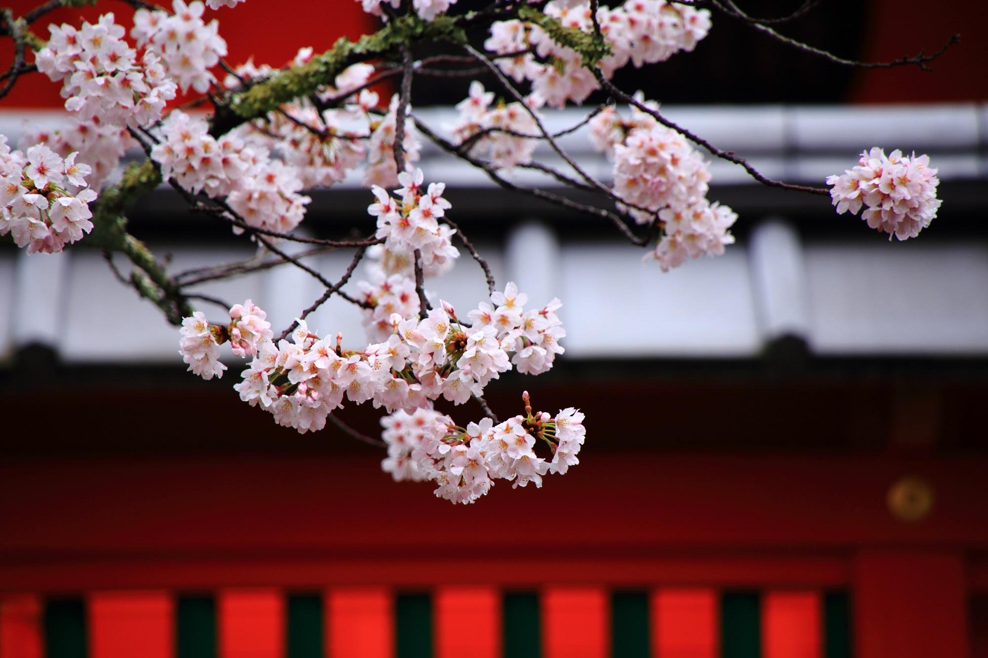 華やかさと風情を併せ持った桜