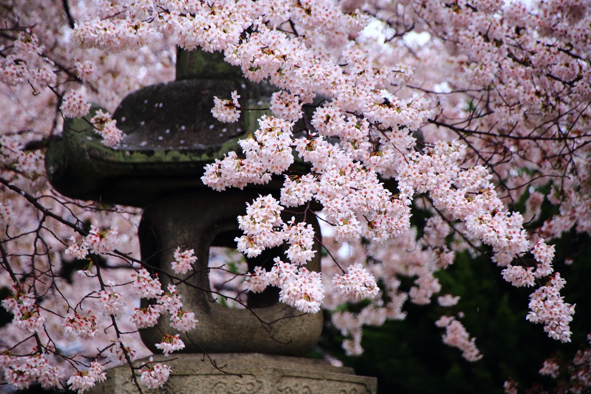 高画質 真如堂 桜 写真 満開 春