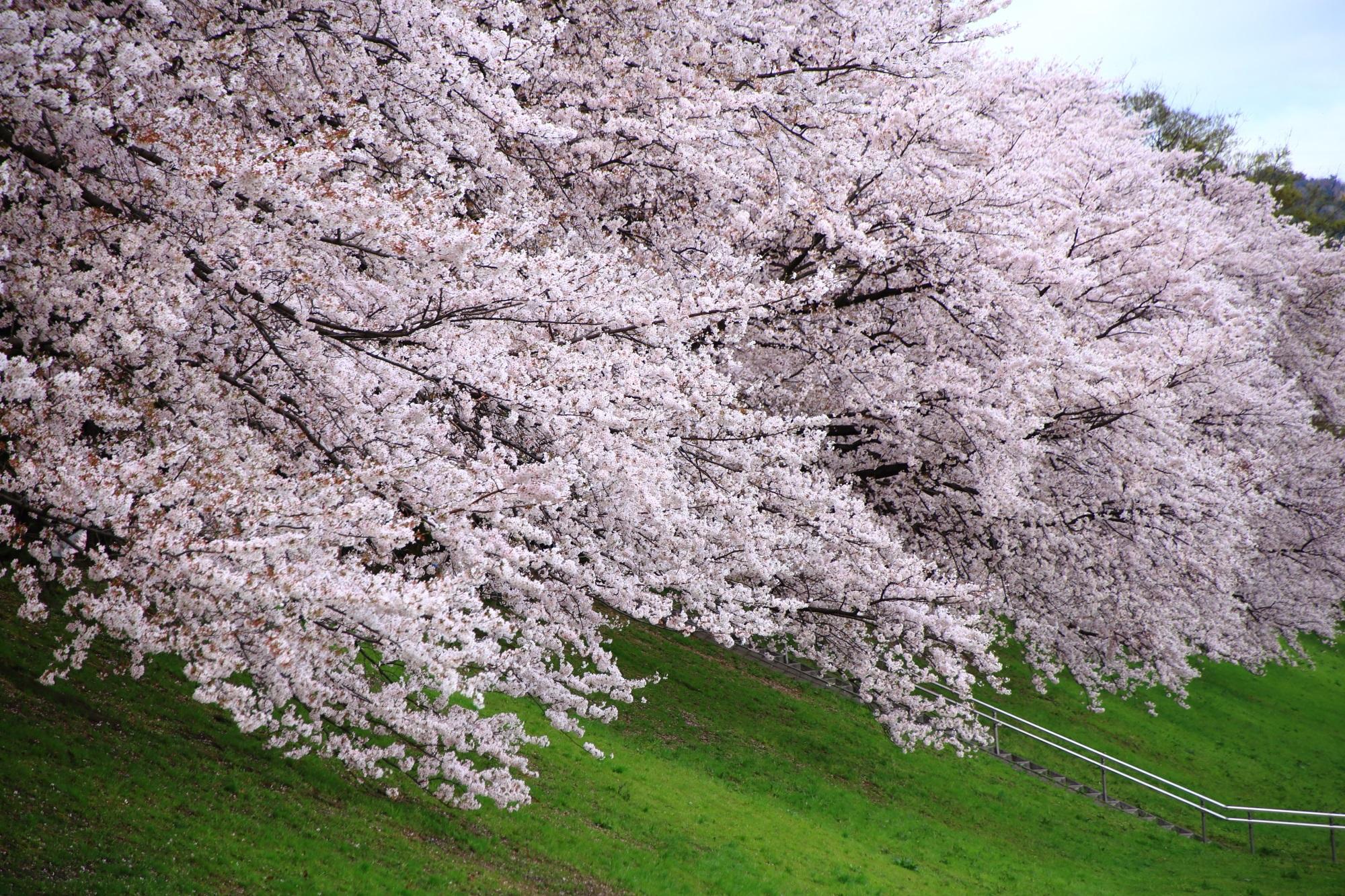 凄すぎて現実か夢か何なのか訳が分からなくなりそうな桜