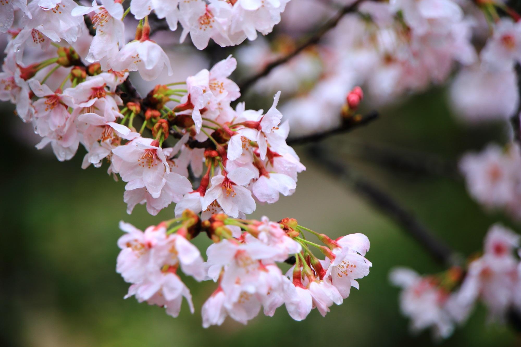 雨に濡れてしっとりした桜