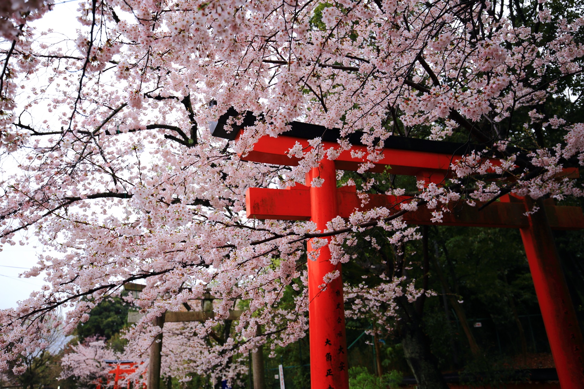 天候は残念もまさに満開の桜