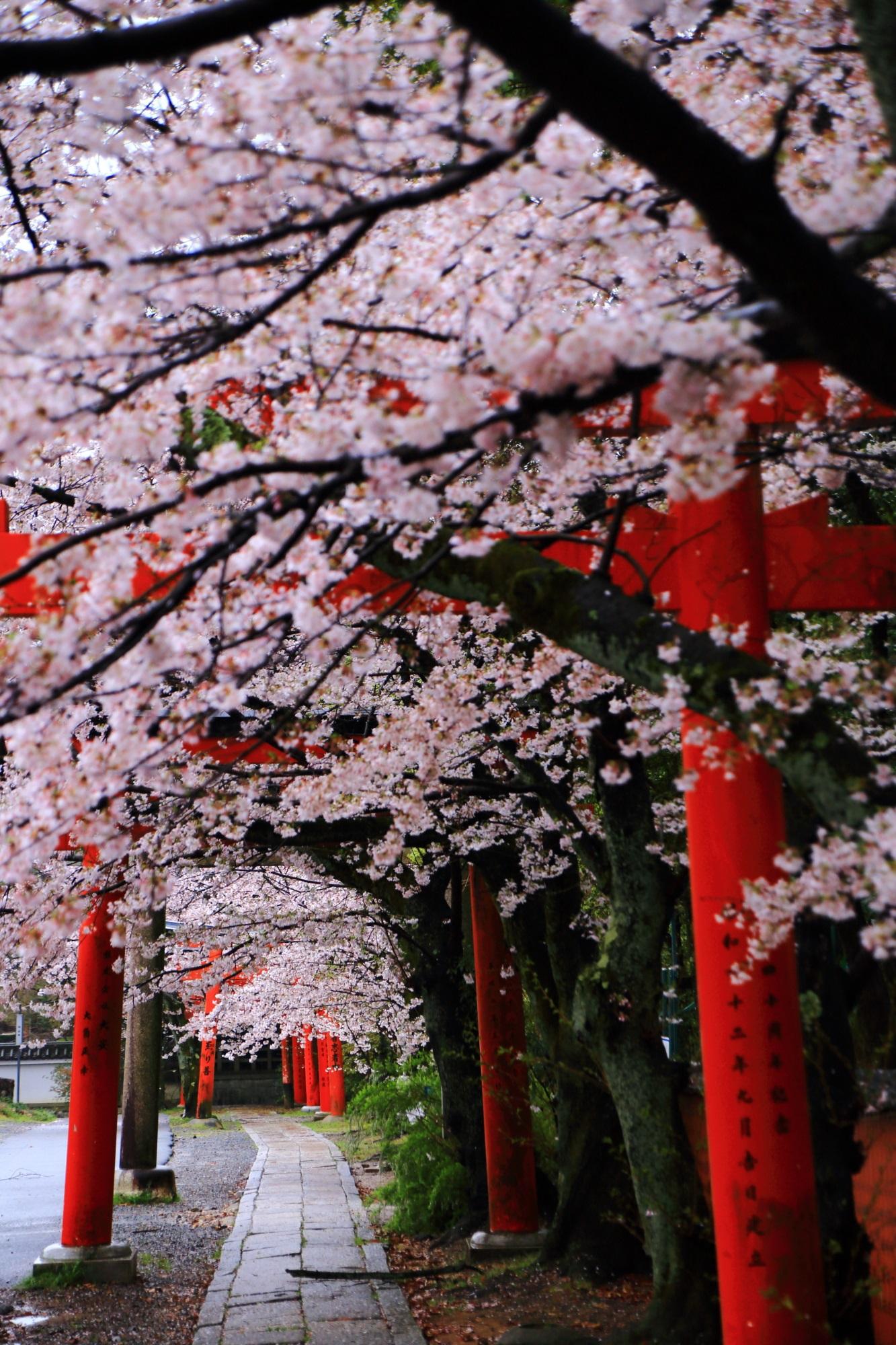 竹中稲荷神社の素晴らしい桜と鳥居の情景