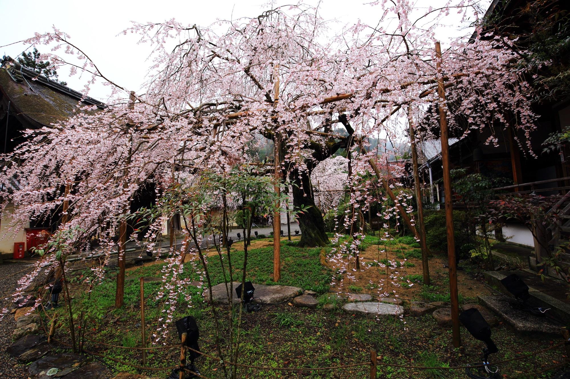 高画質 写真 毘沙門堂 しだれ桜