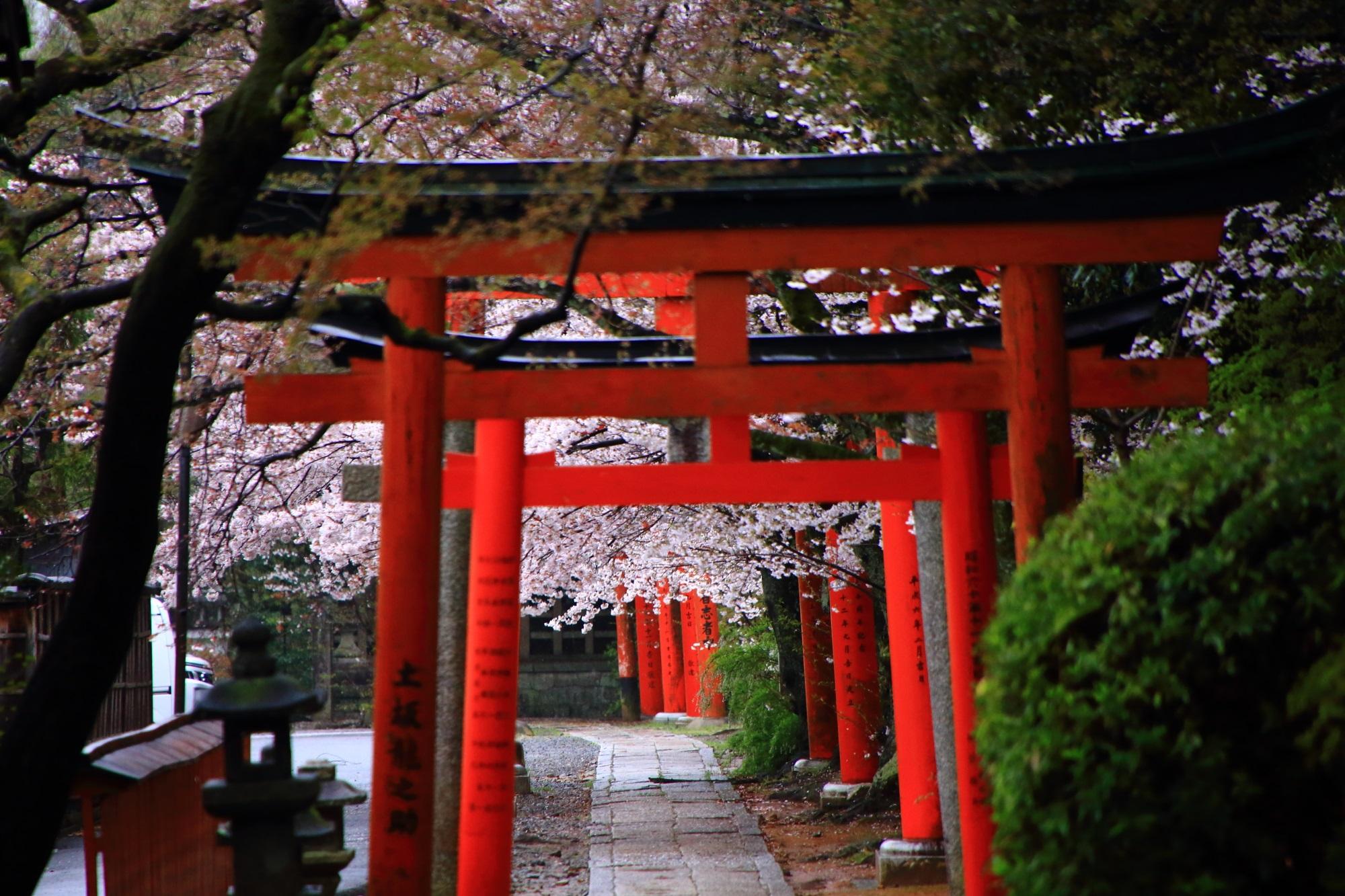 京都最大級の桜の穴場の竹中稲荷神社
