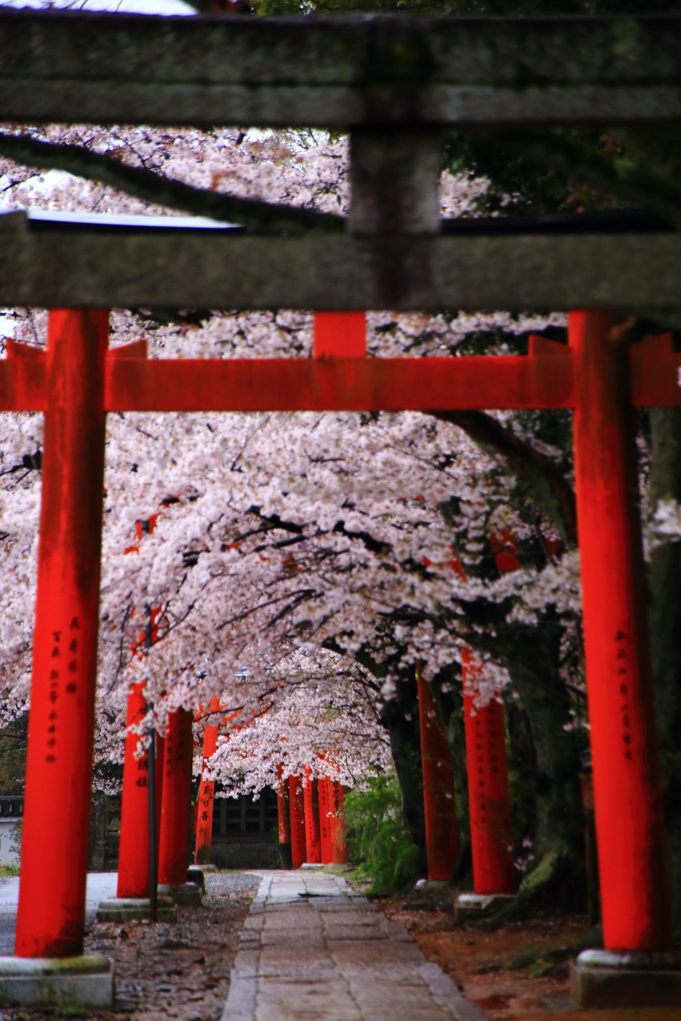 本殿側から眺めた鳥居と桜