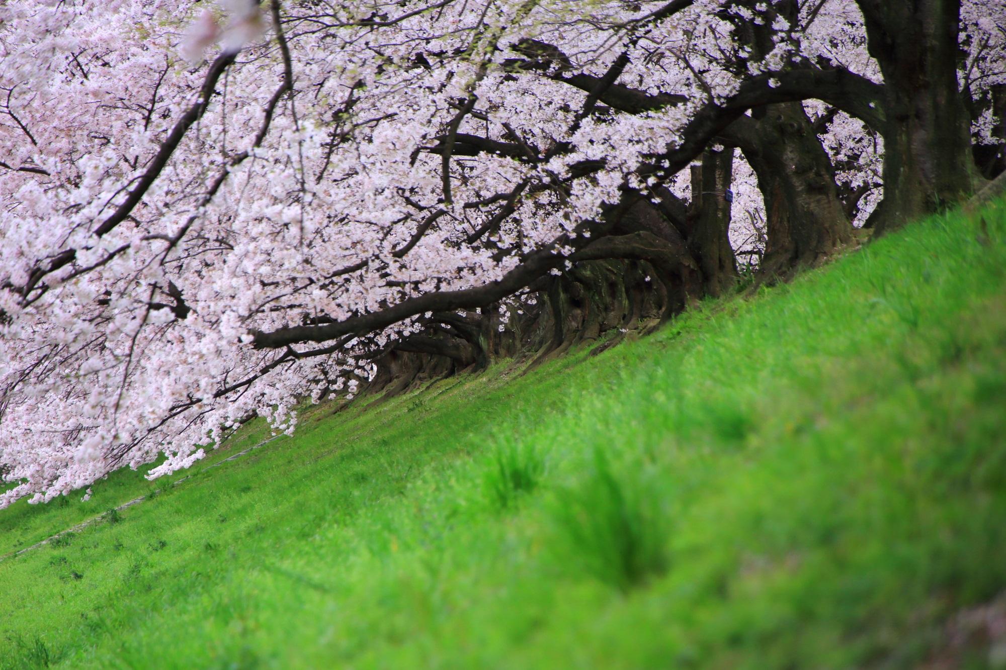 桜の木の下からの眺めた桜並木