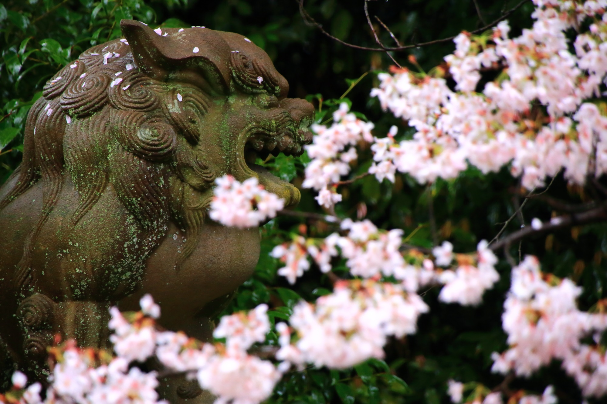 宗忠神社の狛犬と満開の桜