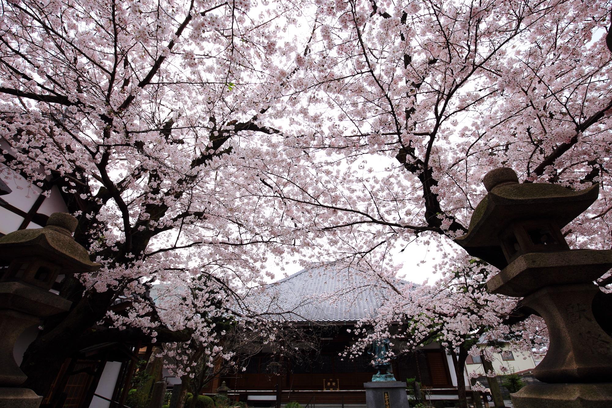 墨染寺(ぼくせんじ)の空を覆う満開の桜