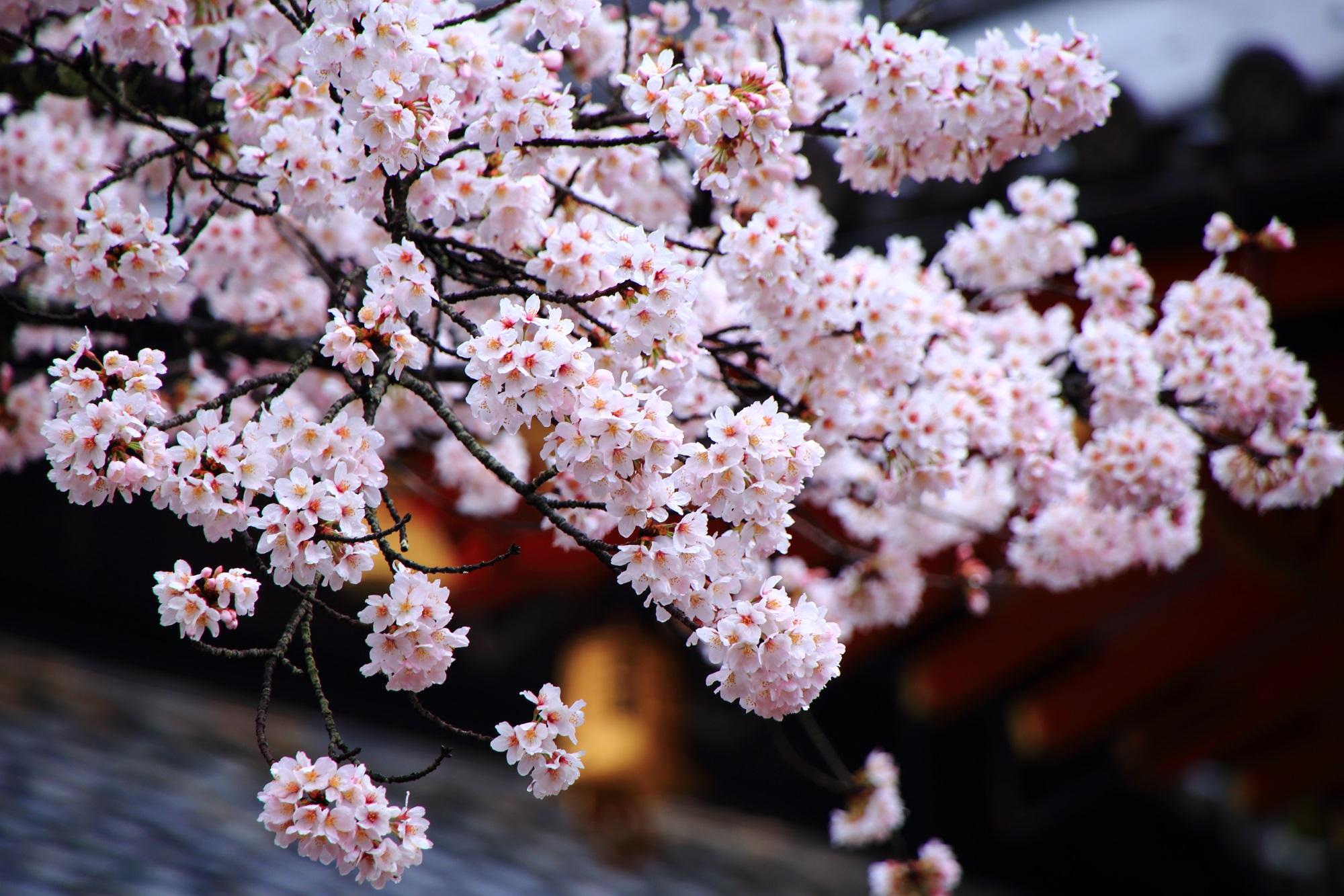 毘沙門堂の弾け飛びそうな桜の花