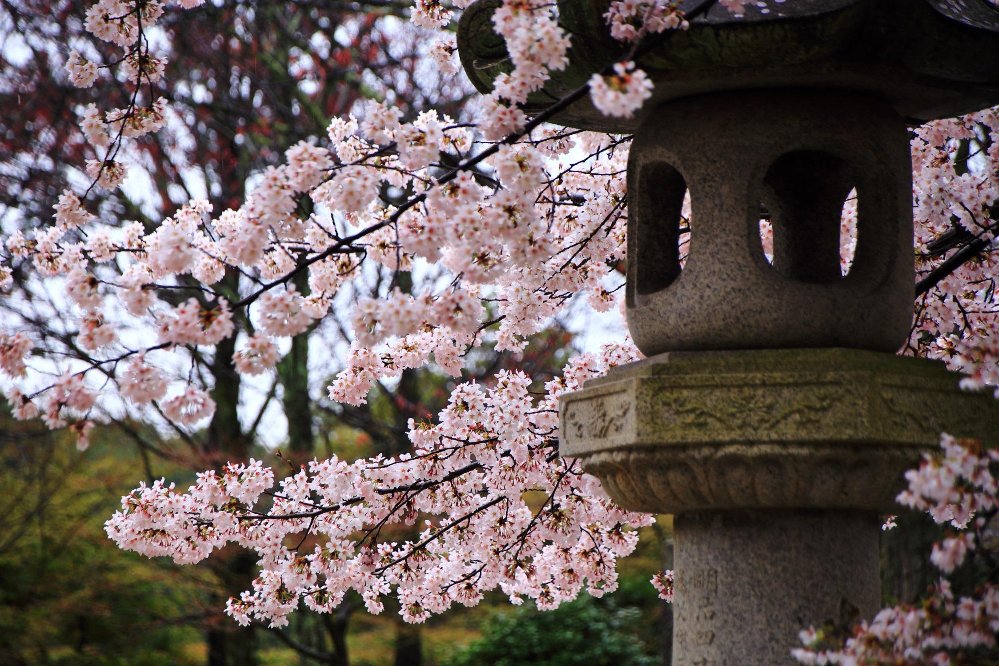 真如堂 桜 満開 春 名所