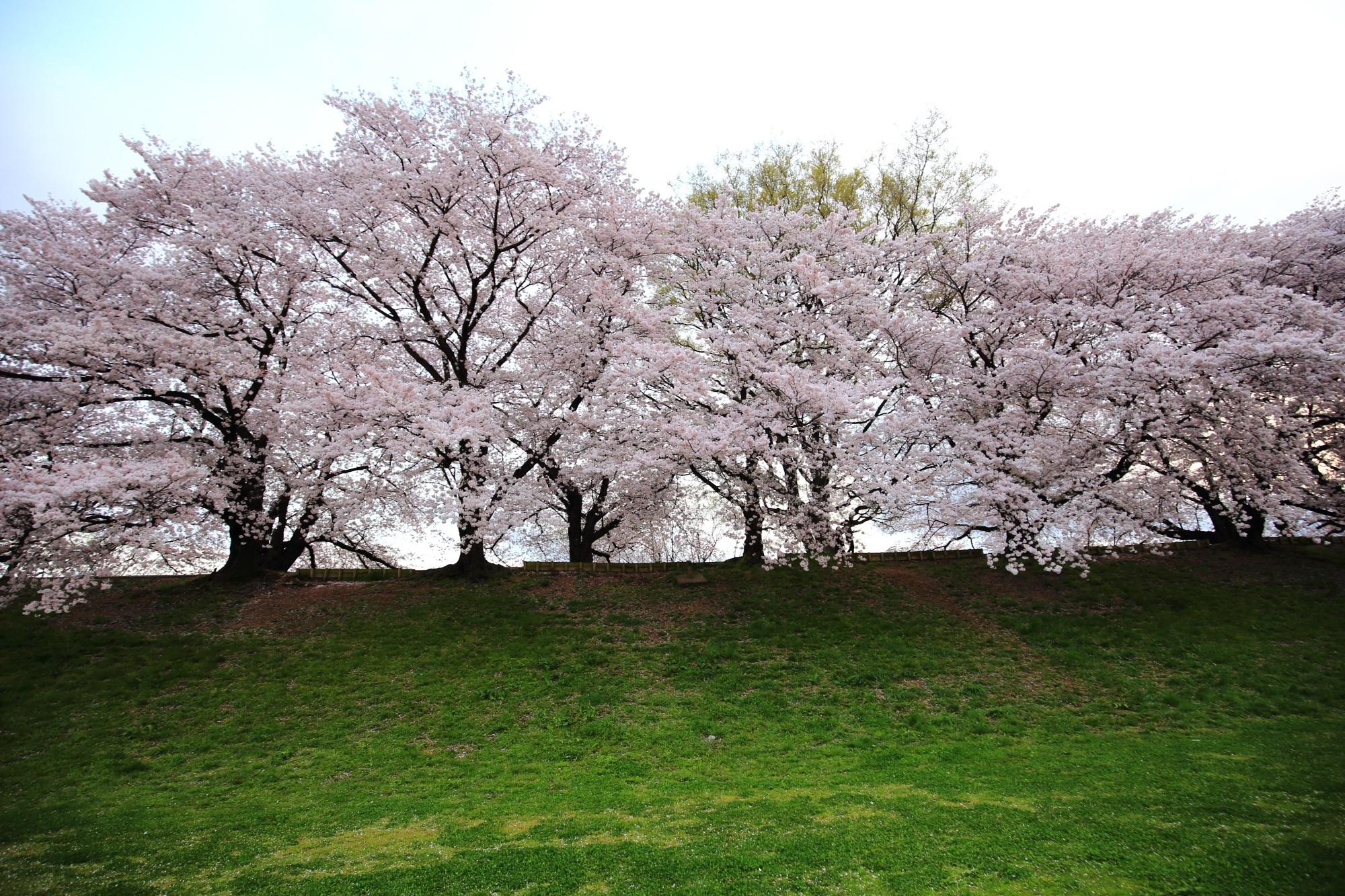 緑の芝生の上で華やぐ満開の桜
