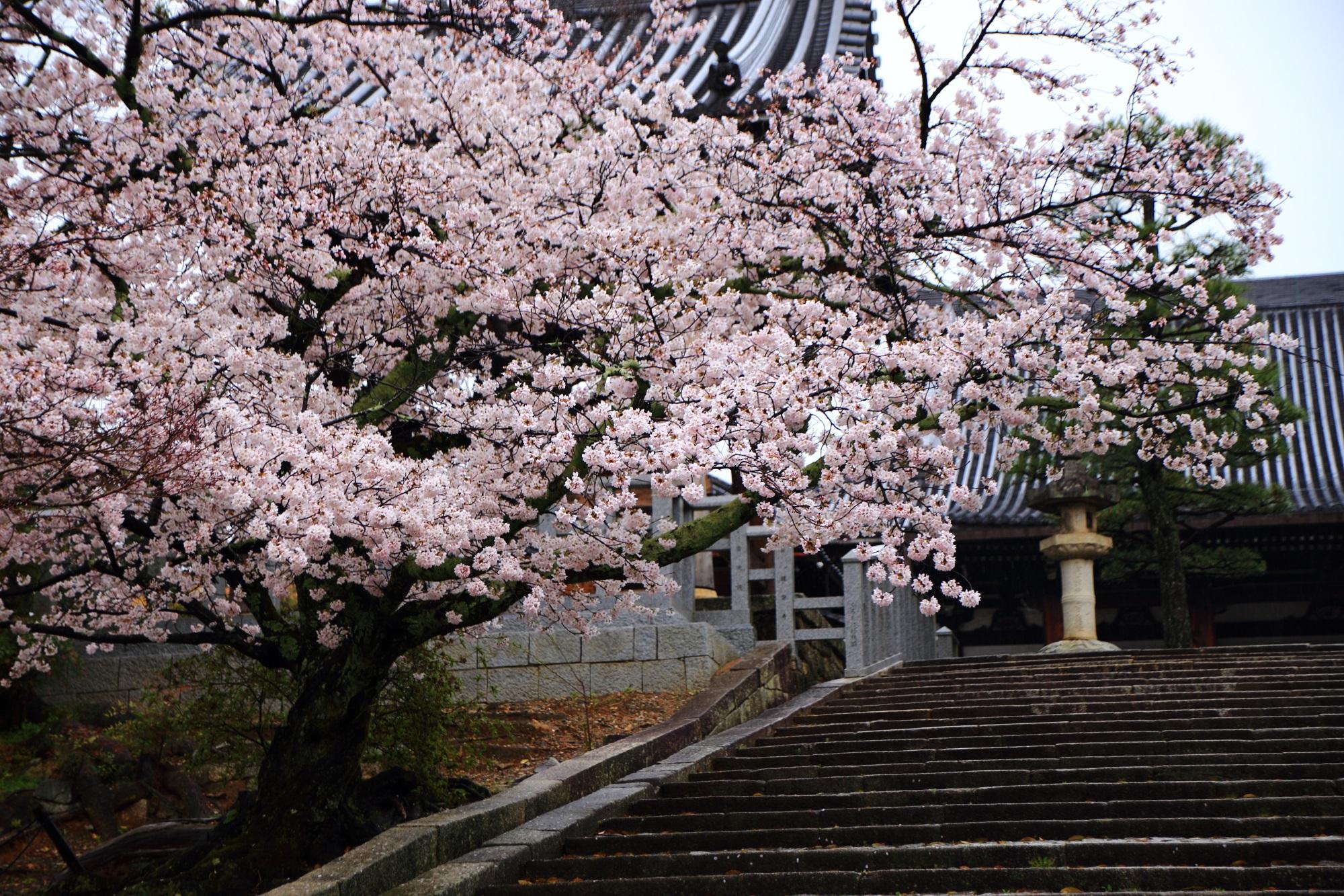 時代劇のロケなどに良く使われる石段と見事な桜