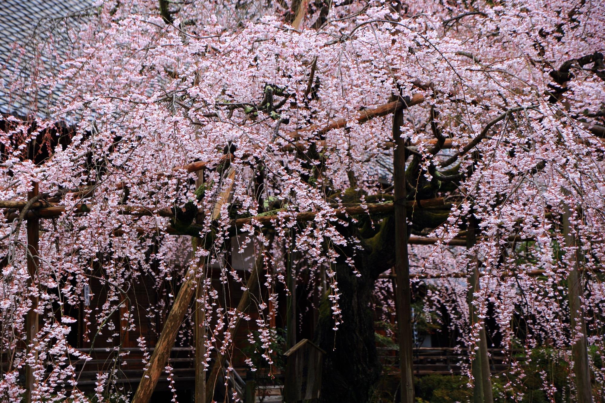繊細で可憐な花びらをした般若桜(はんにゃざくら)