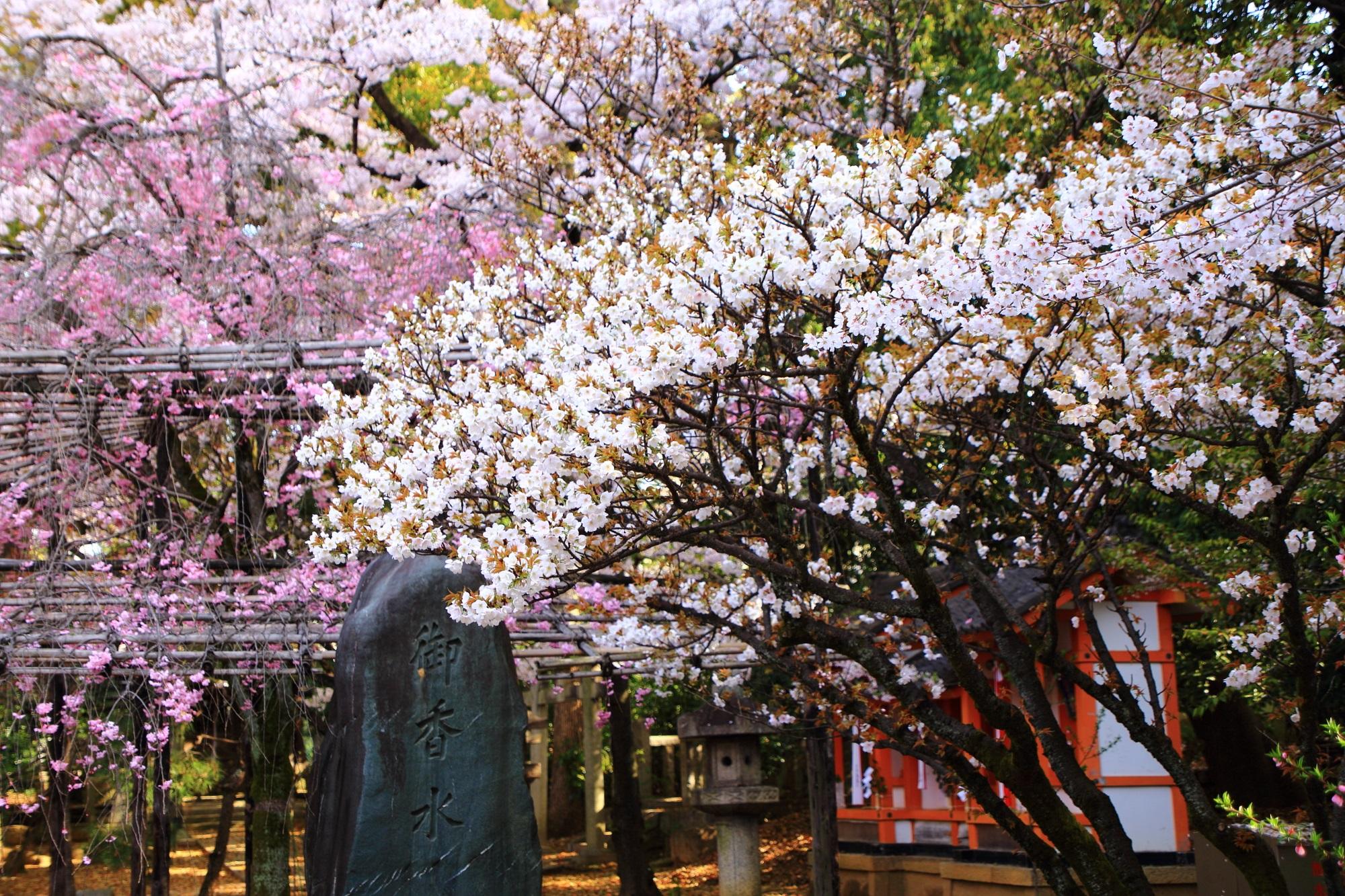 御香宮神社の素晴らしい桜と春の情景