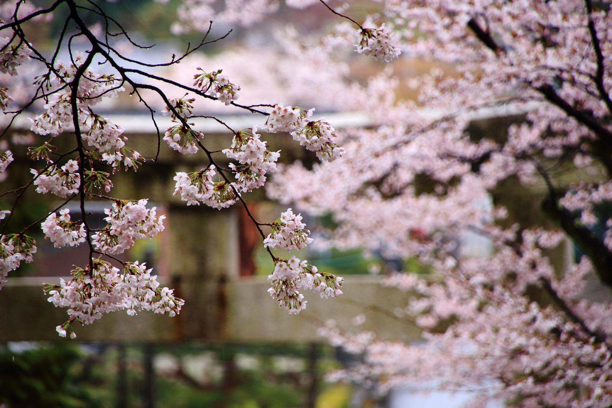 宗忠神社 桜 満開 春