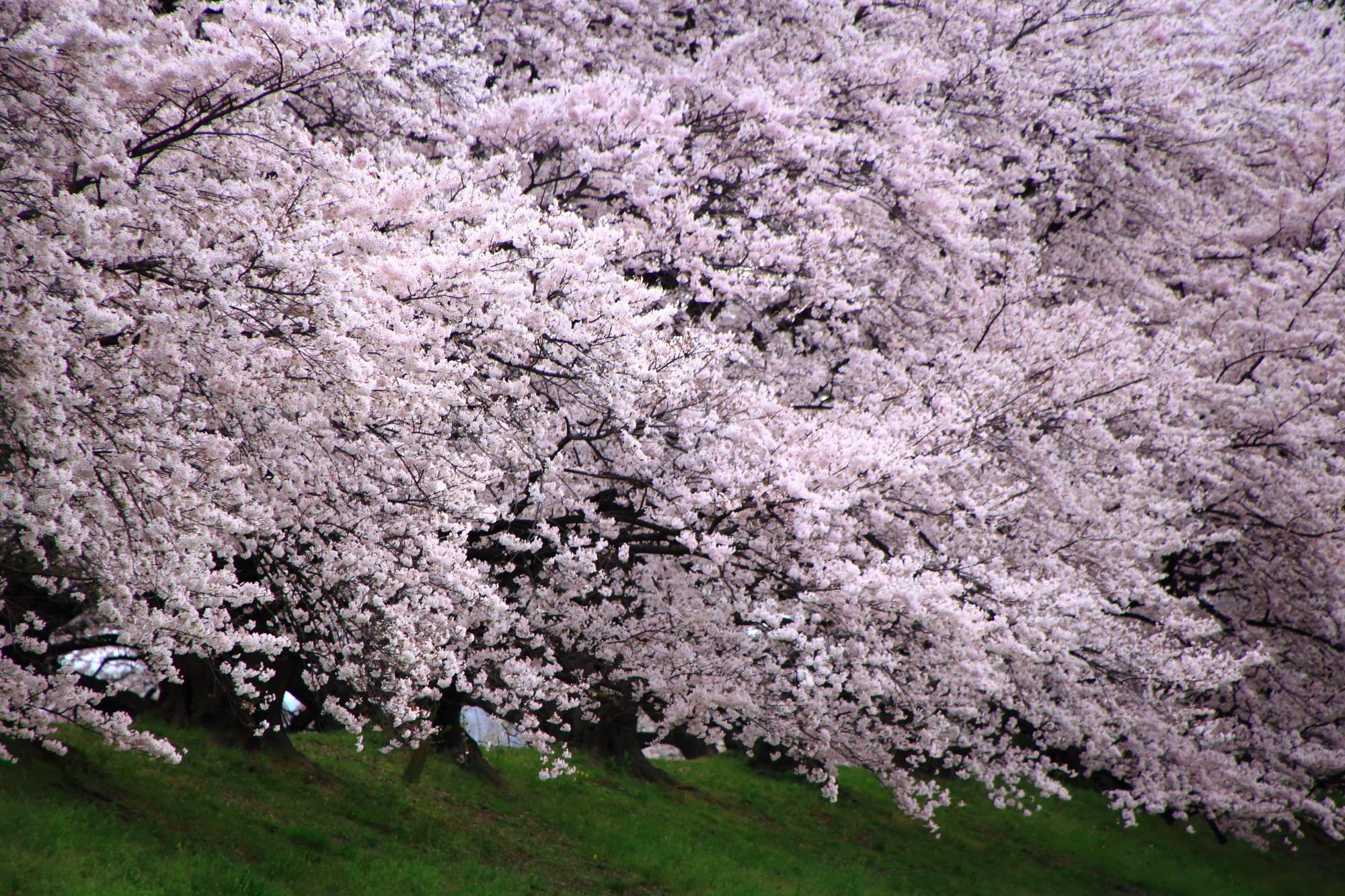 物凄いことになっている桜