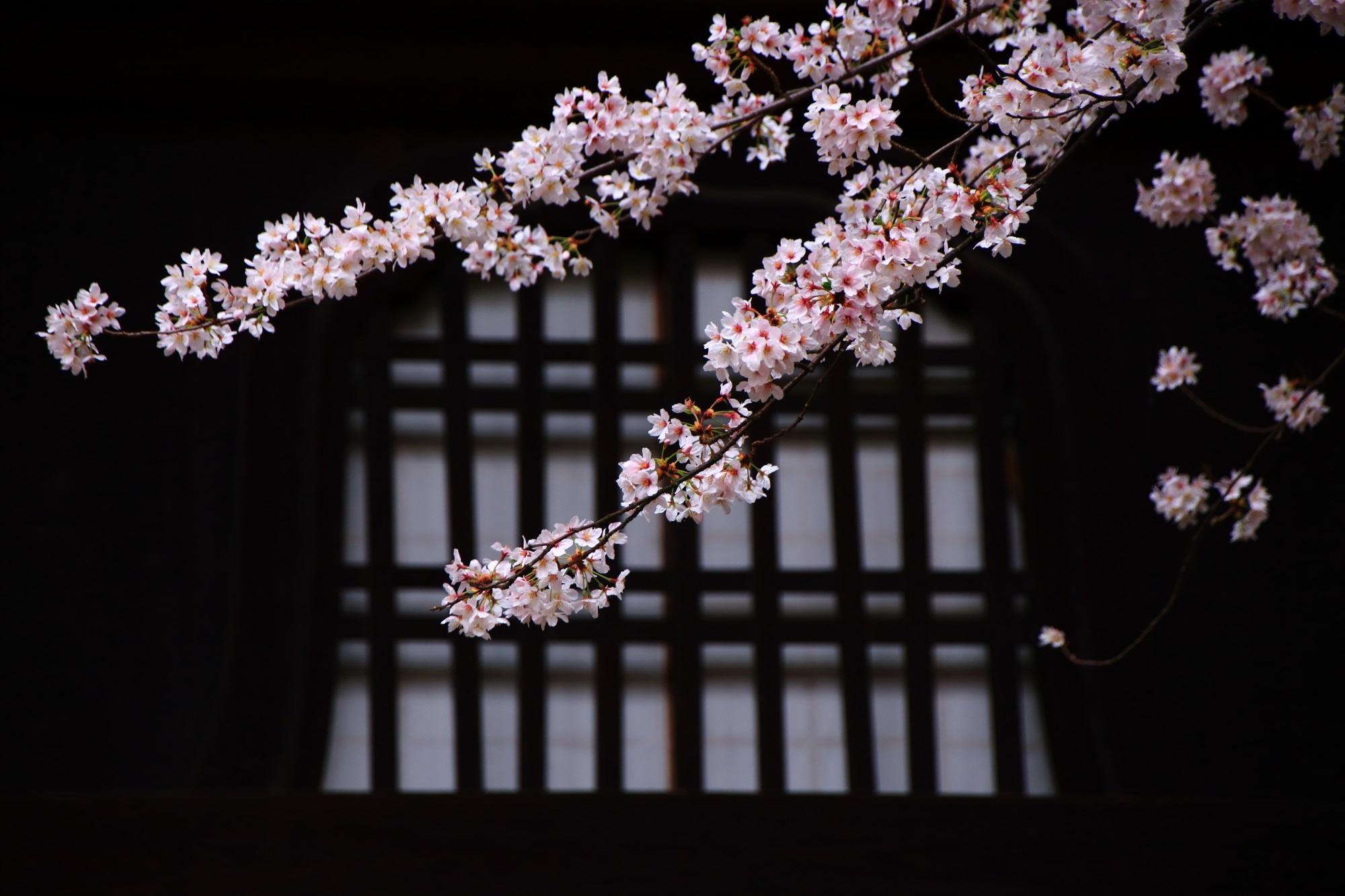 桜の名所の真如堂(しんにょどう)の風情ある桜