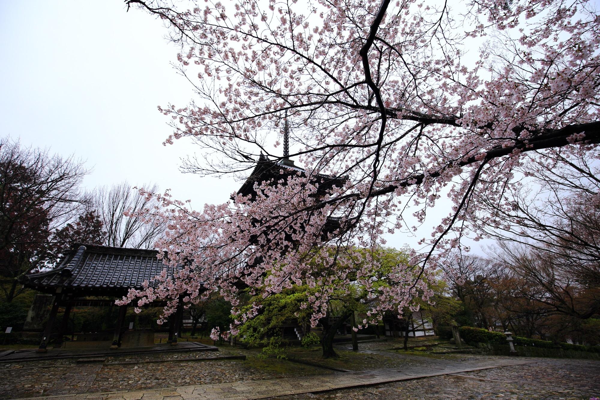しんにょどう 桜 満開 三重塔 春
