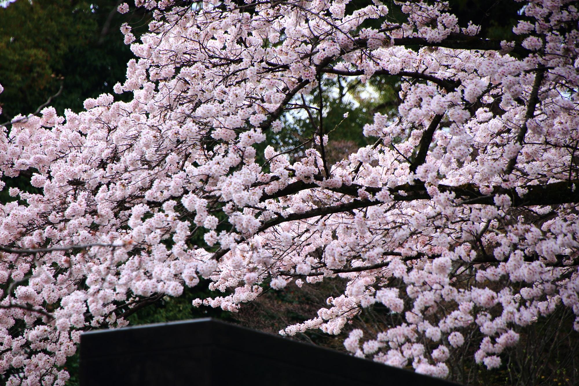 エジソン記念碑付近の予想以上に凄い溢れんばかりに咲き誇る桜