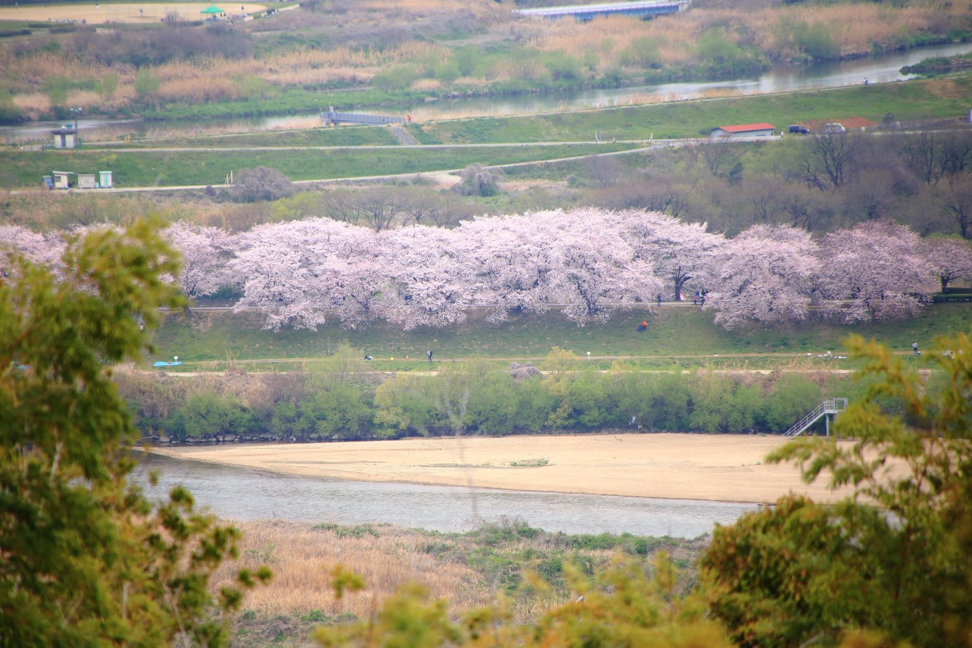男山の展望台から眺めた背割堤の桜