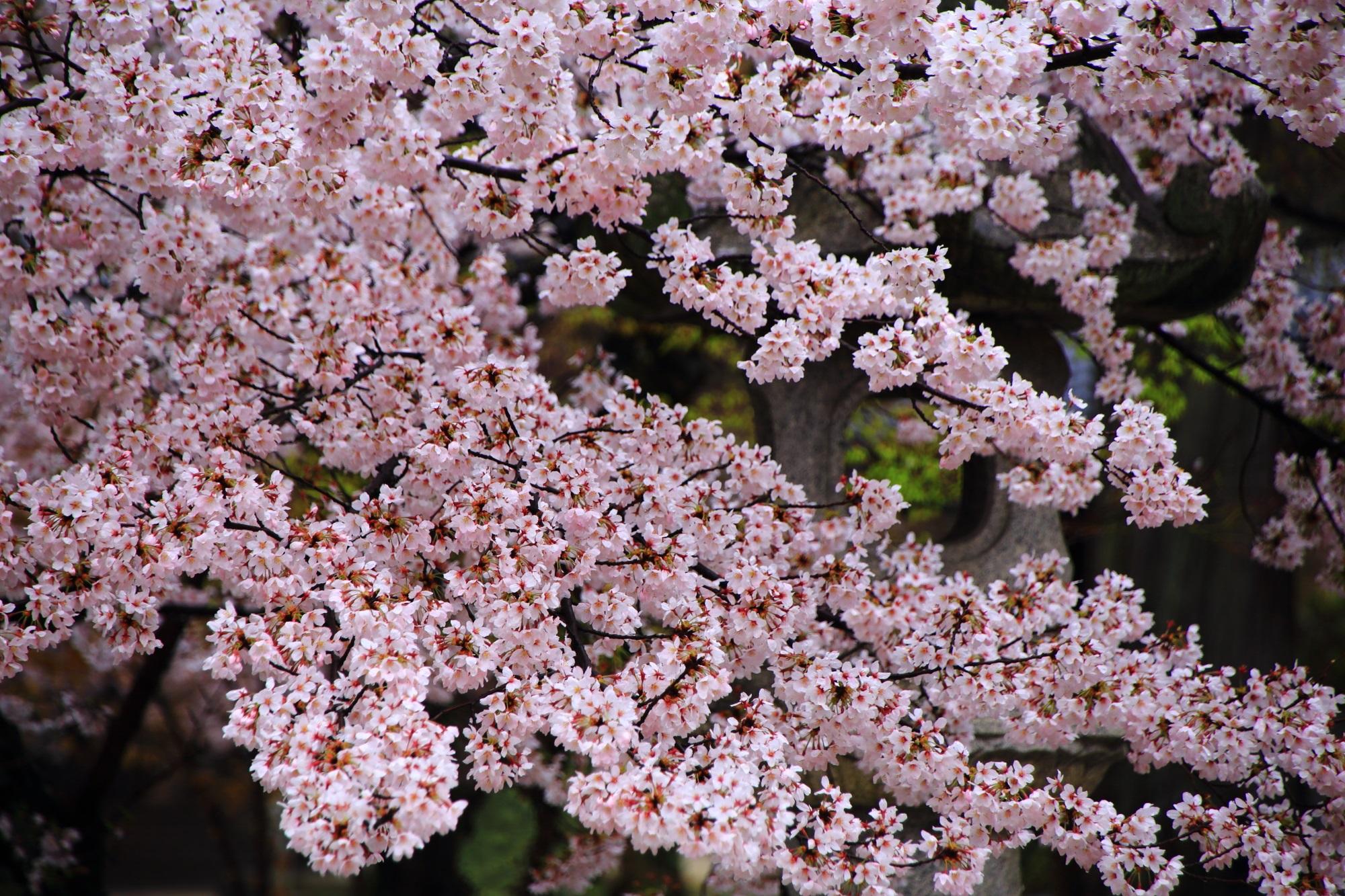 満開の華やかな桜につつまれた桜の名所の真如堂