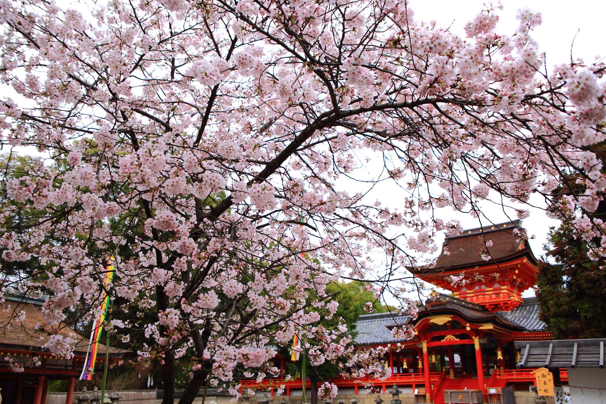 鮮やかな色合いの本殿に降り注ぐピンクの桜