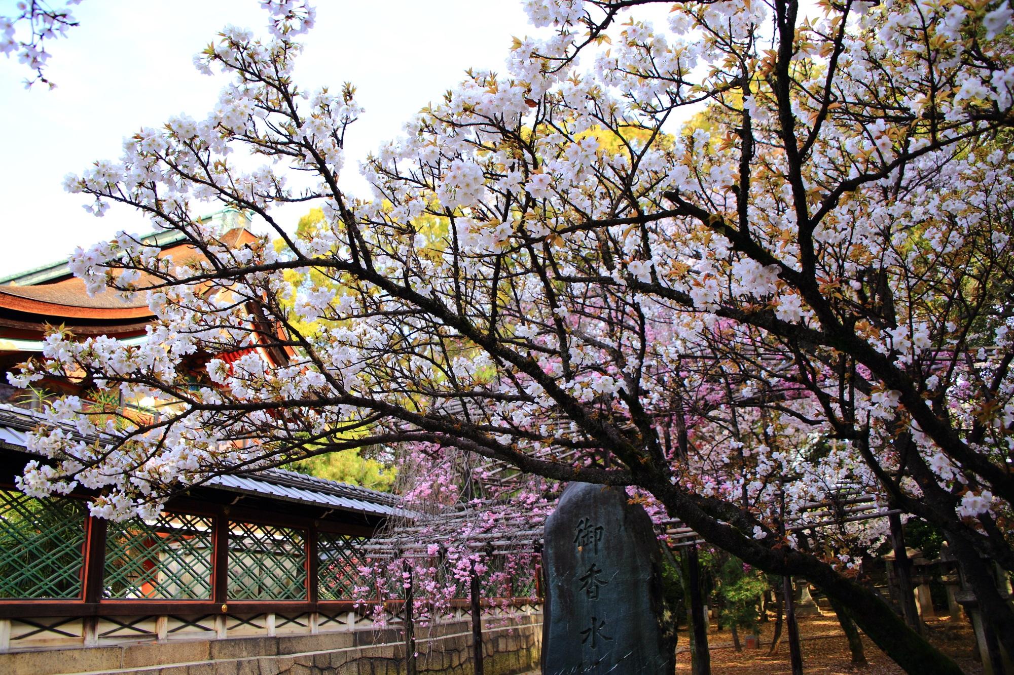 多種多様な桜の木がある御香宮神社