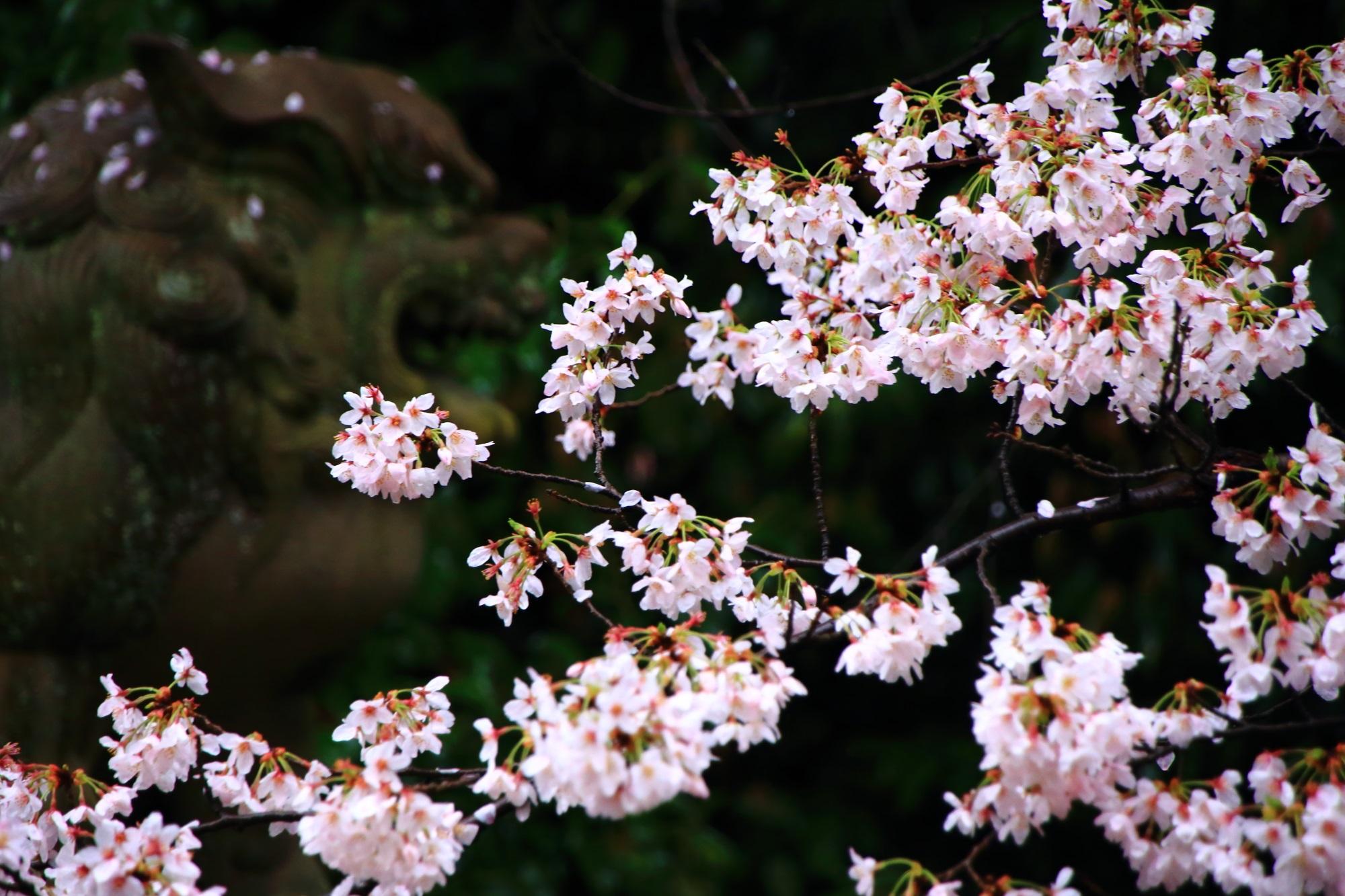 宗忠神社 桜 満開 狛犬 華やか
