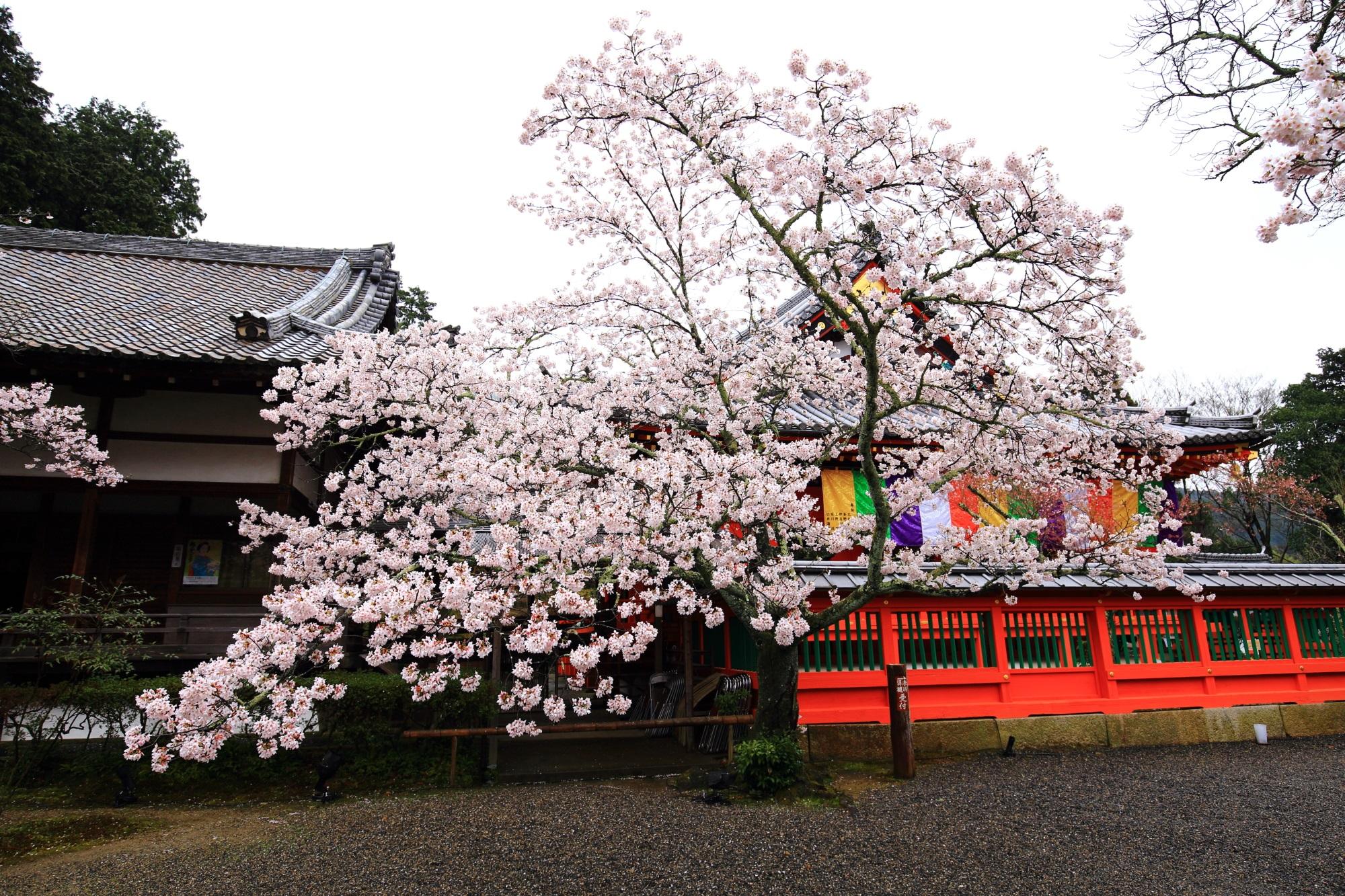 毘沙門堂の本堂横の桜