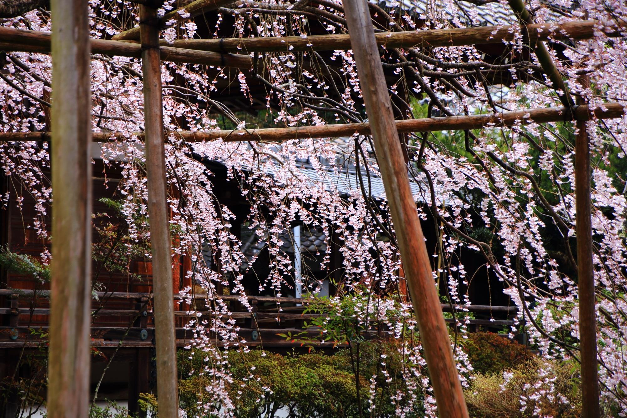 境内を春色につつむしだれ桜