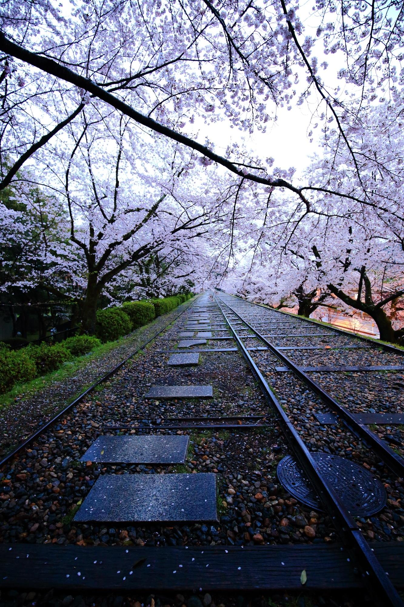 独特の風景を演出する淡い桜と上品な散り桜