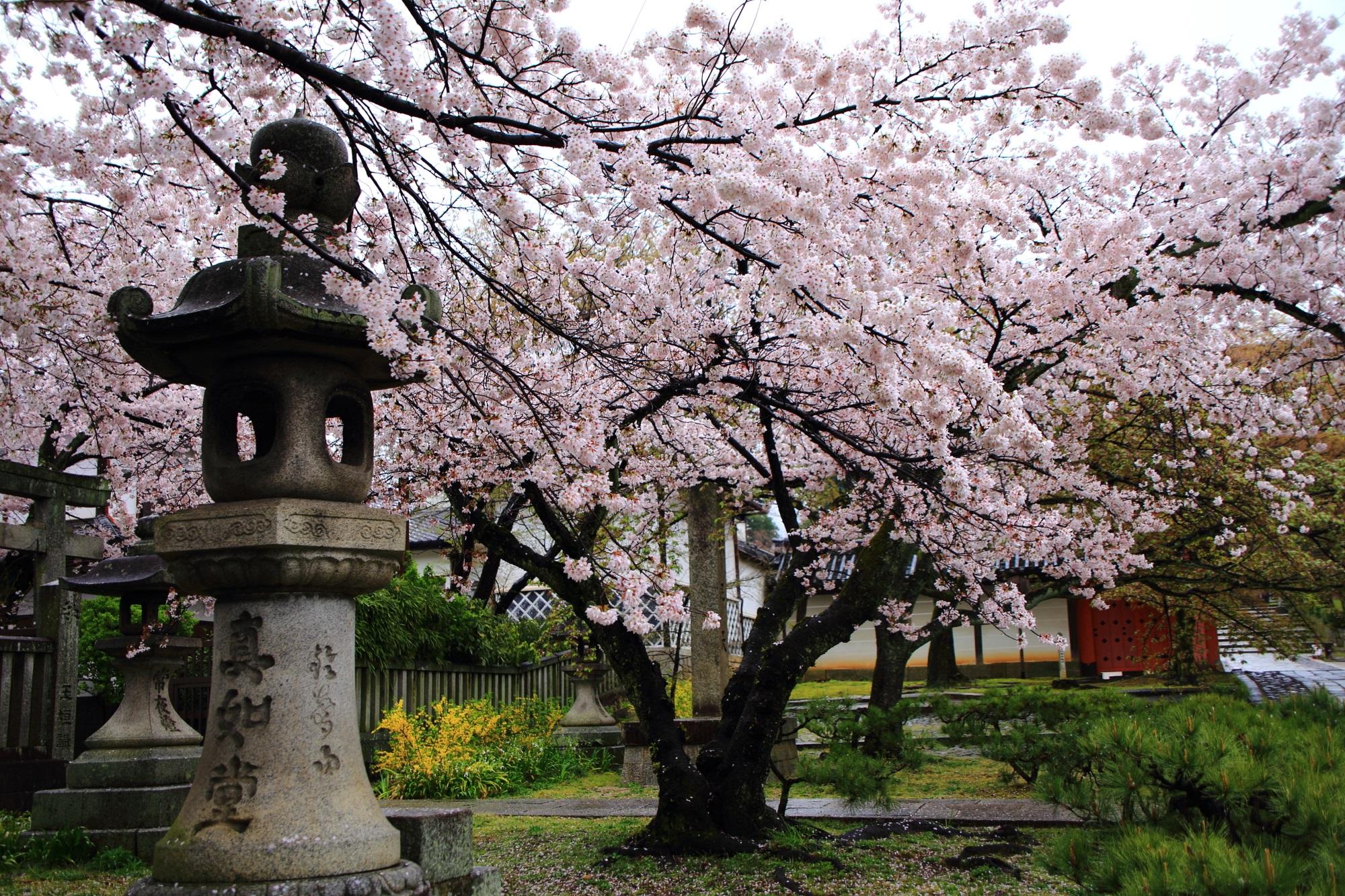 真正極楽寺 桜 満開 灯篭