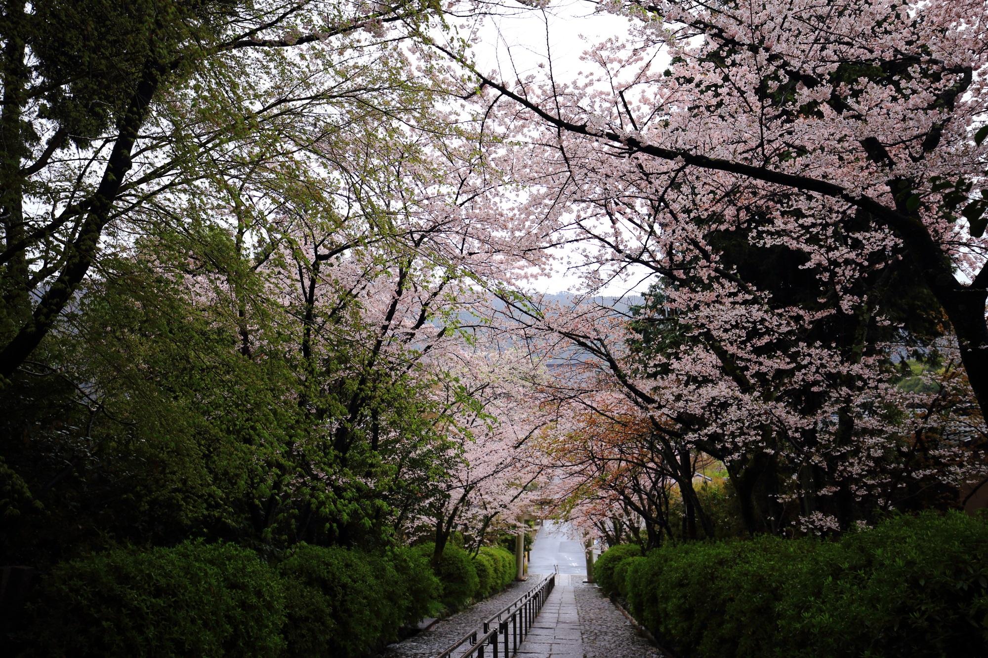 隠れた桜の名所の宗忠神社の石段の桜