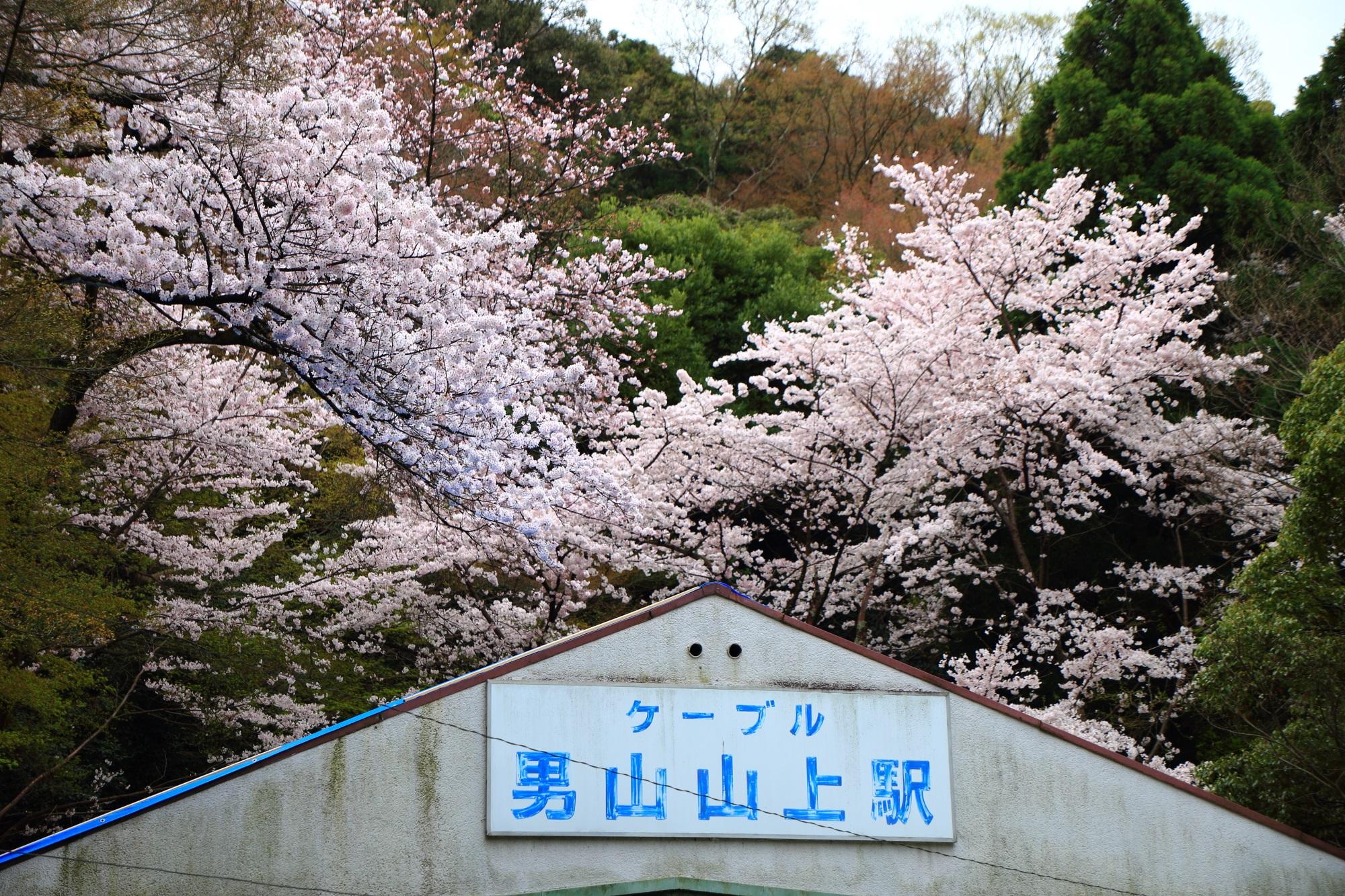 八幡の男山ケーブルの男山山上駅の満開の桜